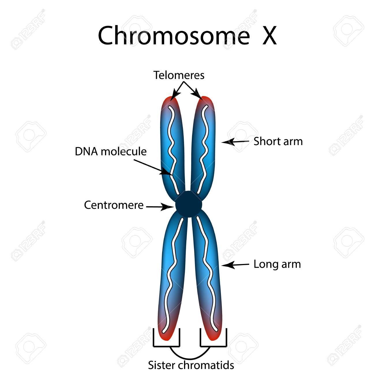 The Structure Of The Chromosome. Infographics. Vector Illustration ...