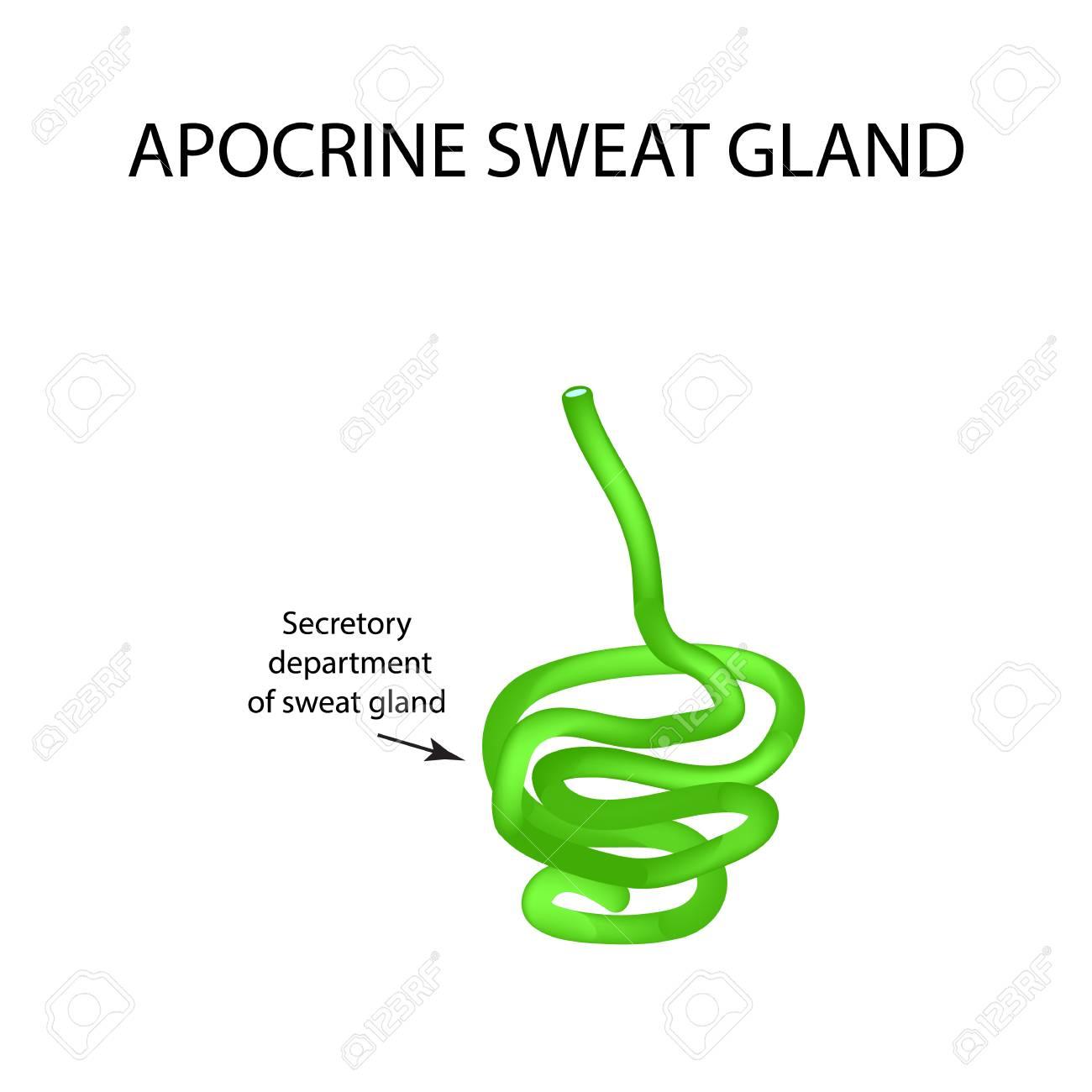 Structure Apocrine Sweat Gland Infographics Vector Illustration