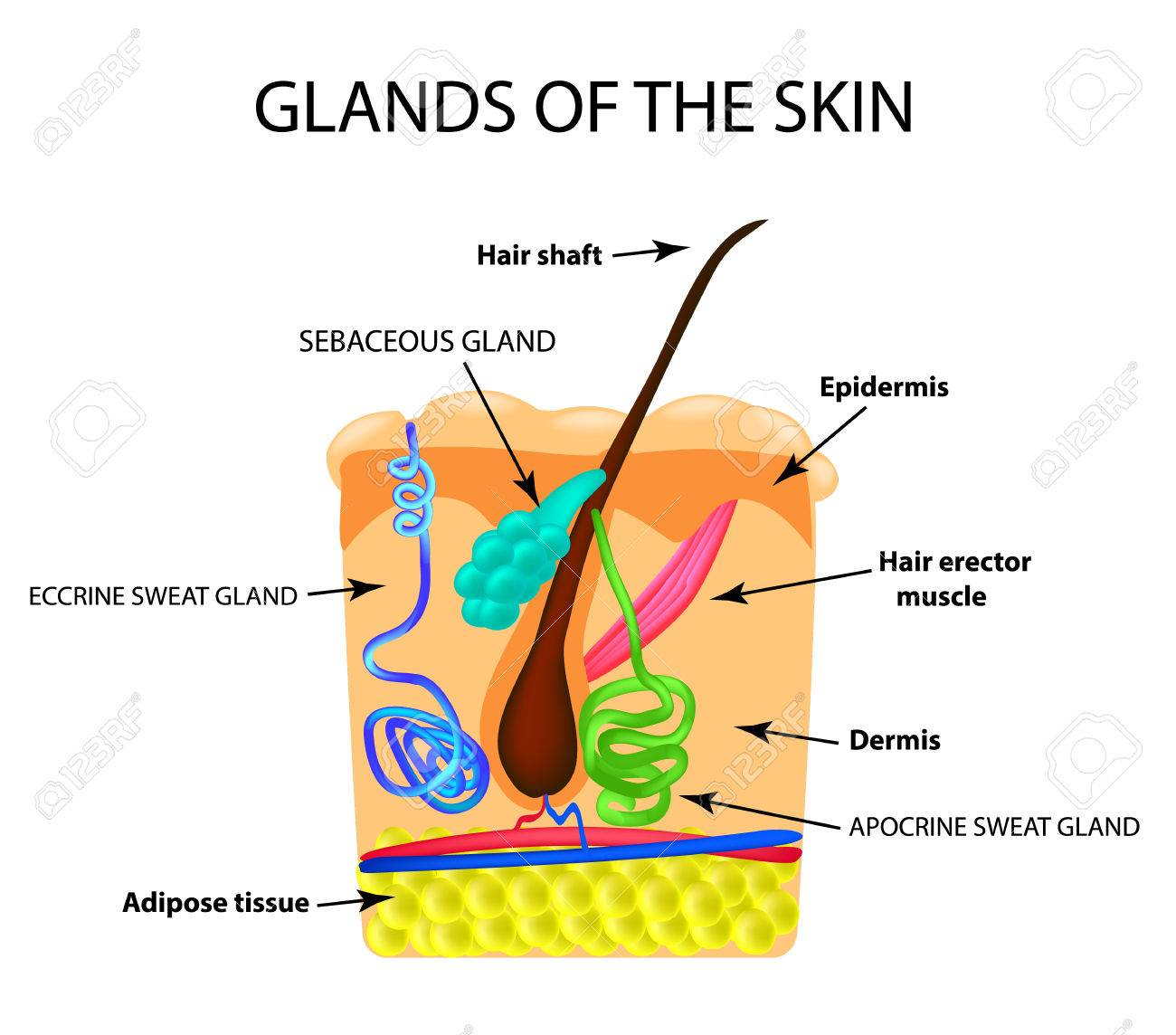 The Structure Of The Hair Sebaceous Gland Sweat Gland