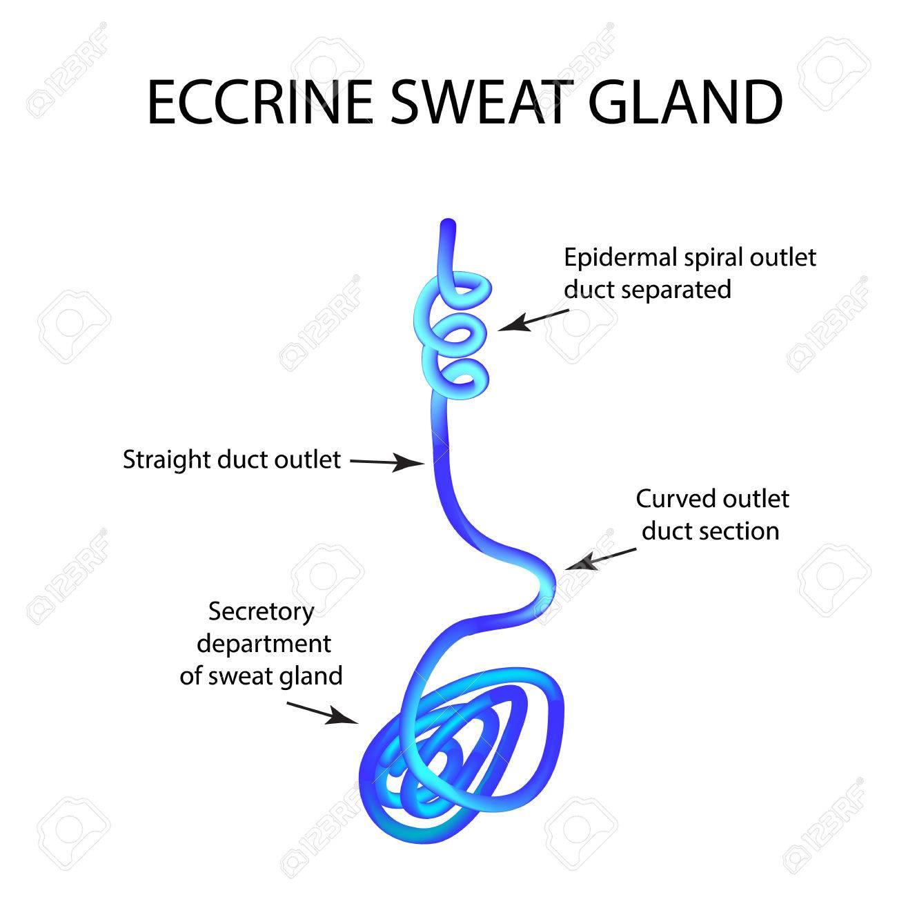 Structure Eccrine Sweat Gland Infographics Vector Illustration