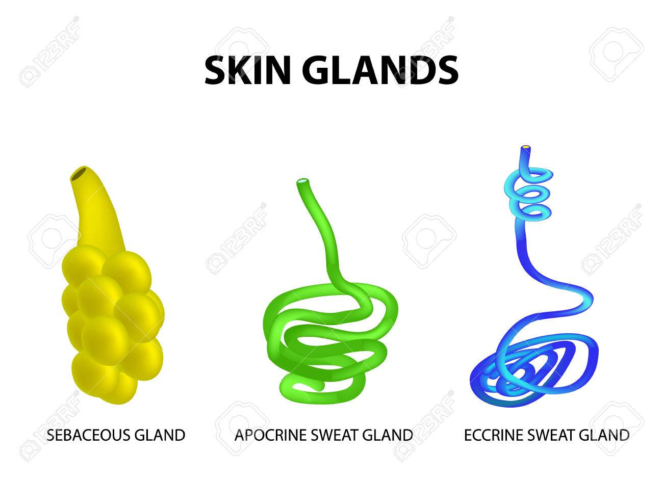 the structure of the glands of the skin sebaceous eccrine sweat
