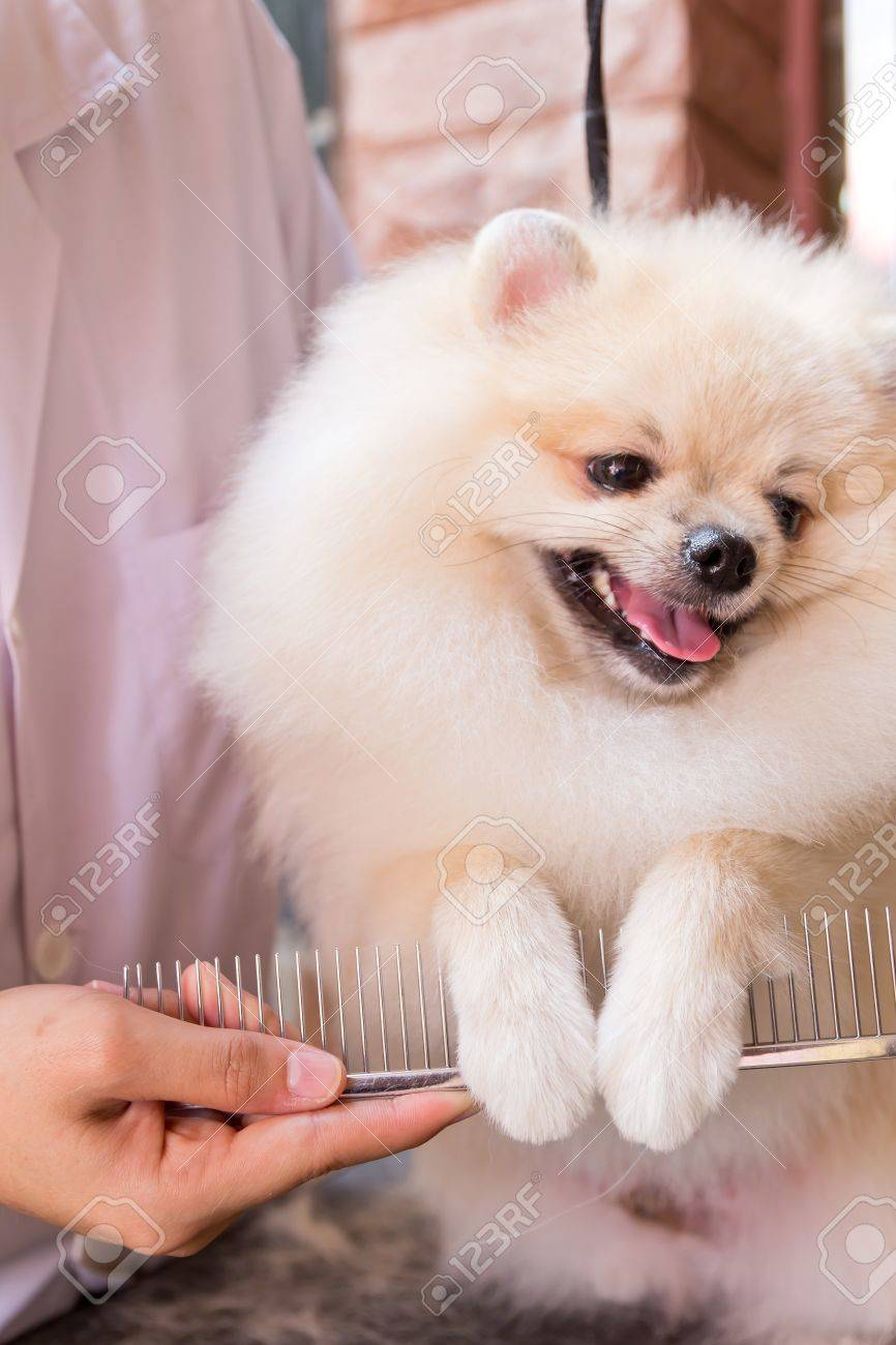 cream pomeranian after shower with comb Stock Photo - 13719940