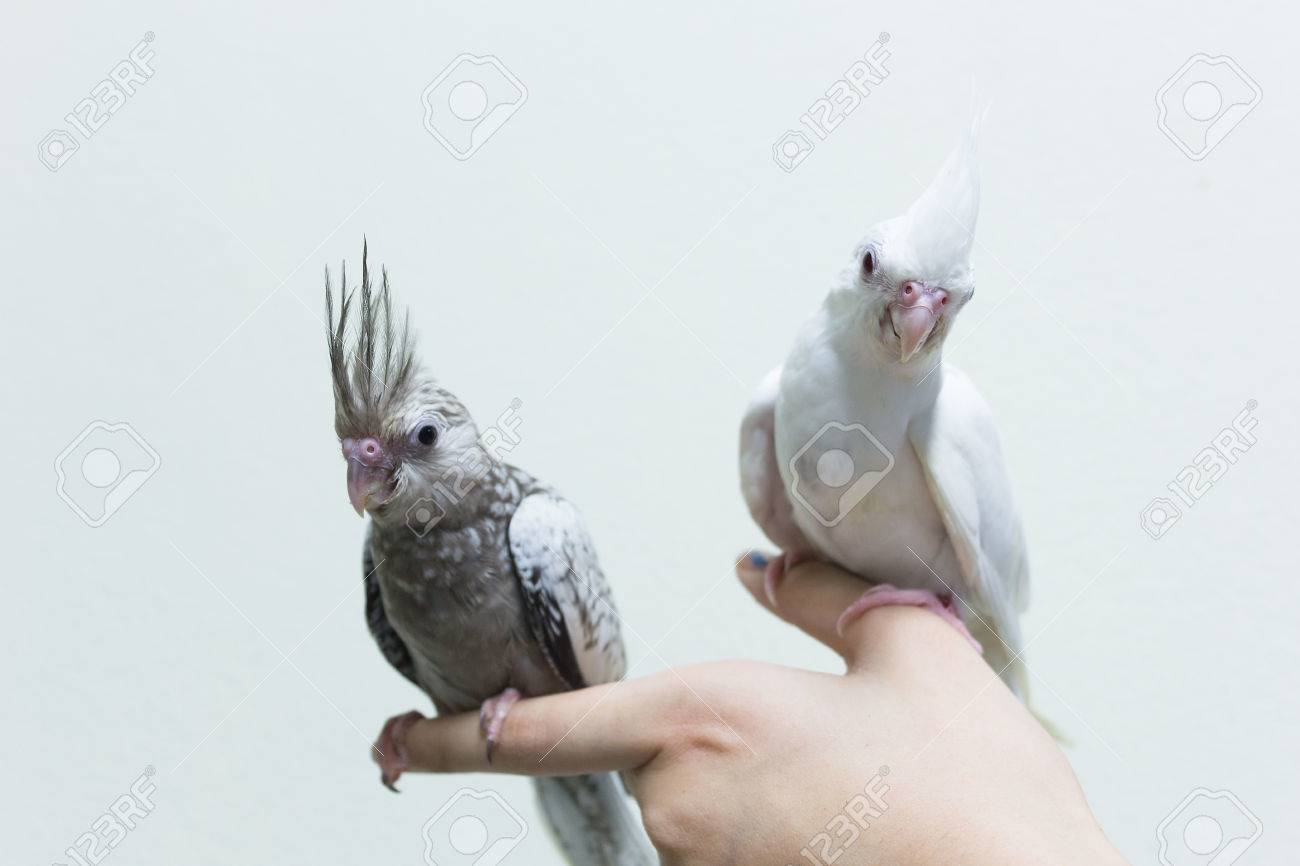 Baby Gray And White Cockatiel Birds On Finger Female Copy Space