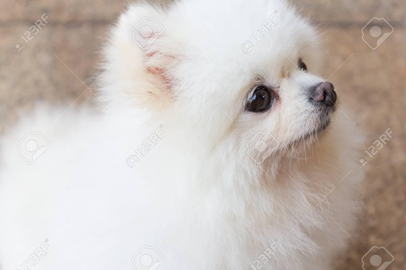 Beautiful White Pomeranian Dog Sitting On Brick Stone Floor