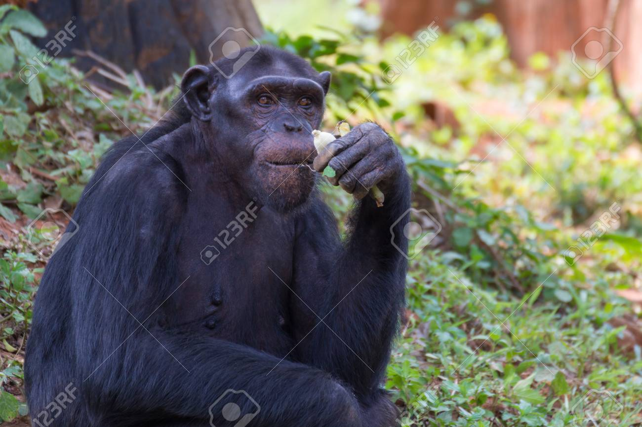 Giant chimpanzee monkey eating banana in the forest. Stock Photo - 84874071 d0e0d598157