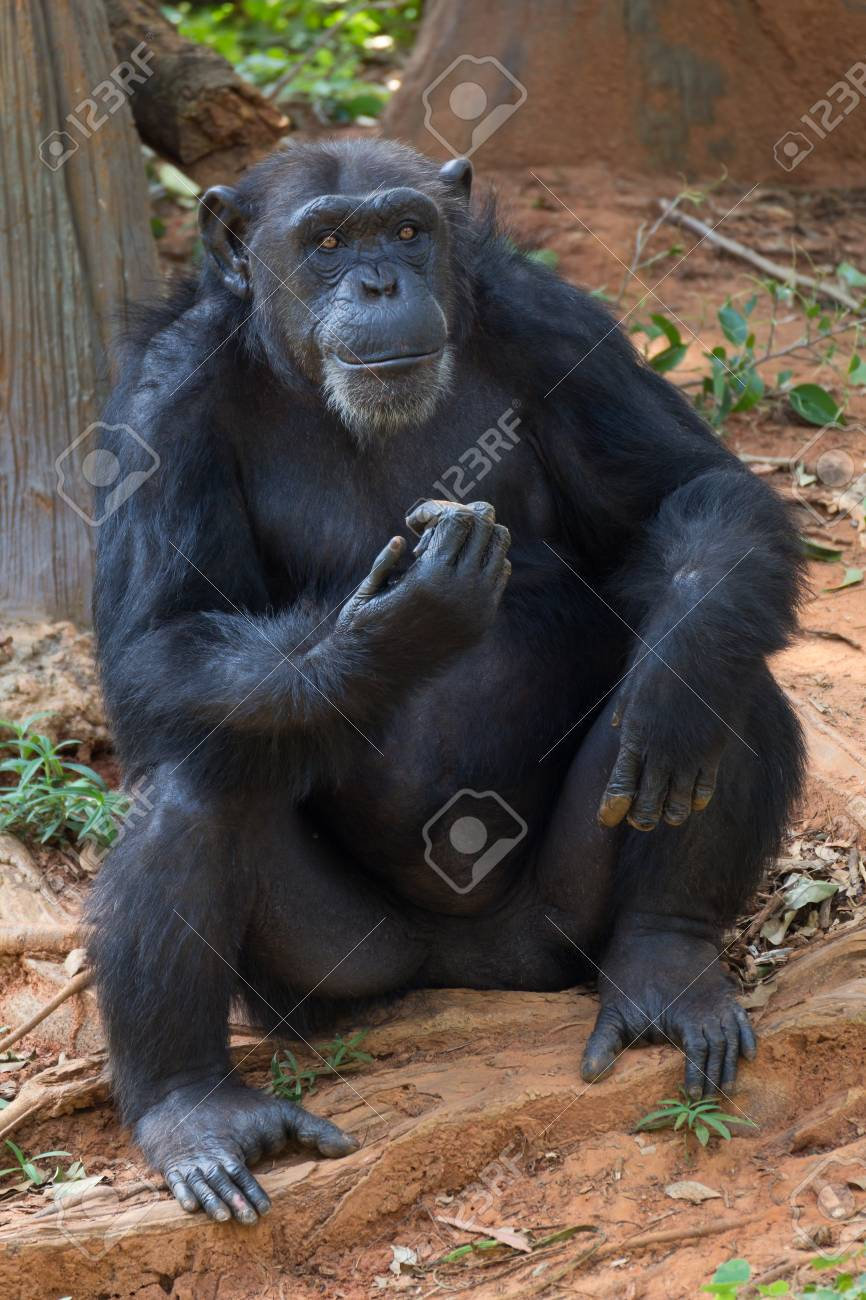 Giant chimpanzee monkey sitting in the forest. Stock Photo - 85099867 87ab6d405dd