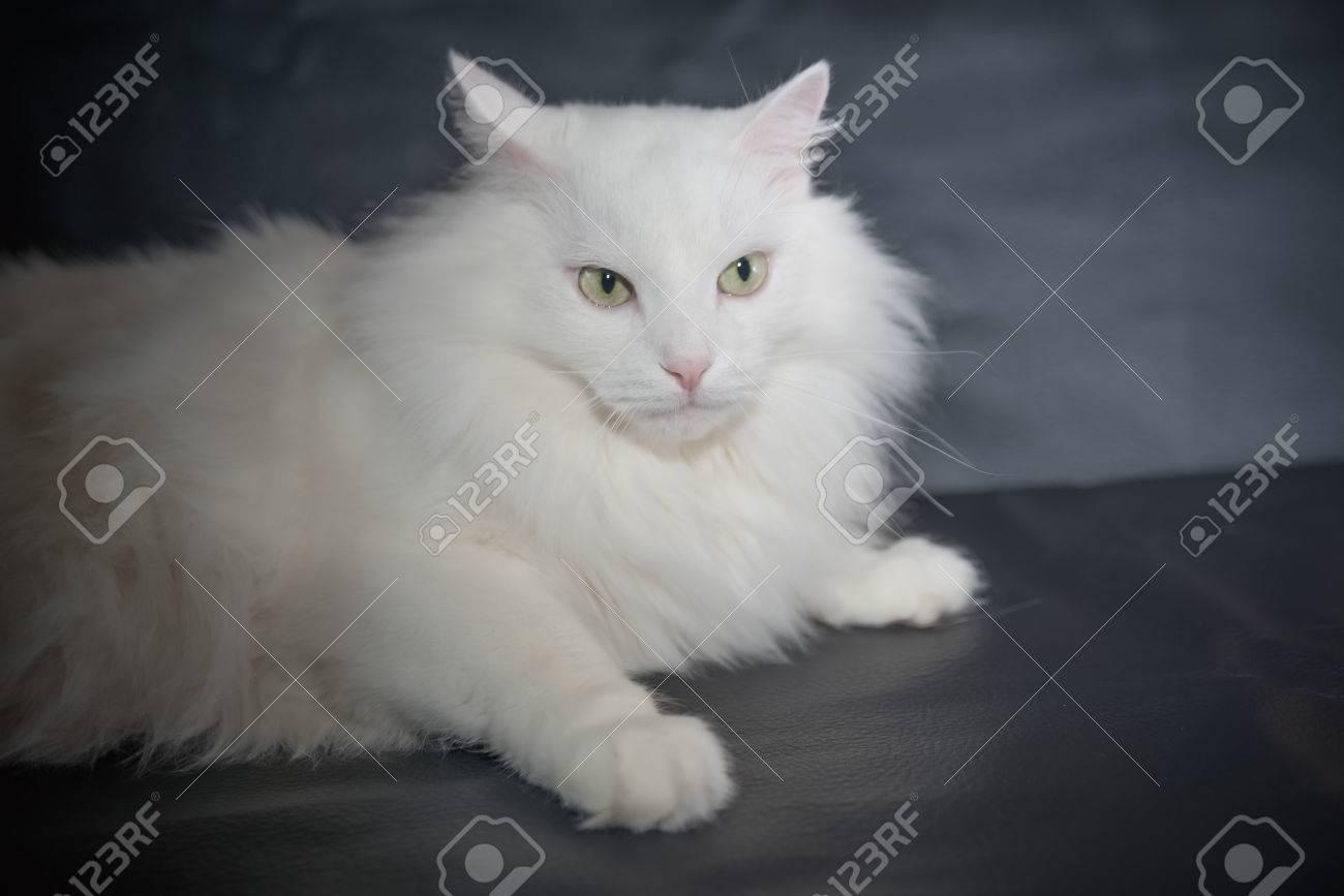 White Cat Breed Persian Angora On Black Background Stock Photo