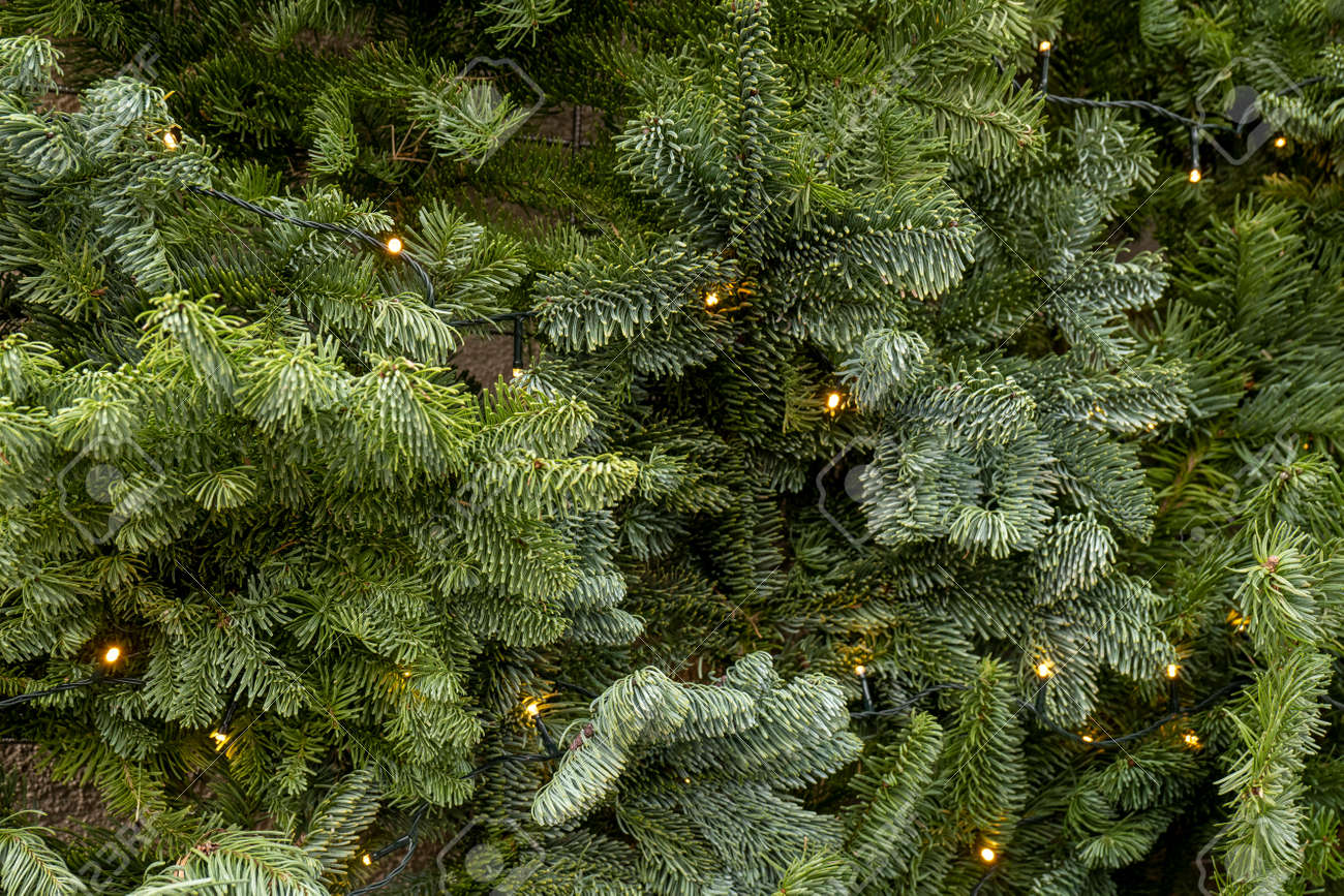 Christmas tree background. spruce branches with flatlay illumination - 164390390