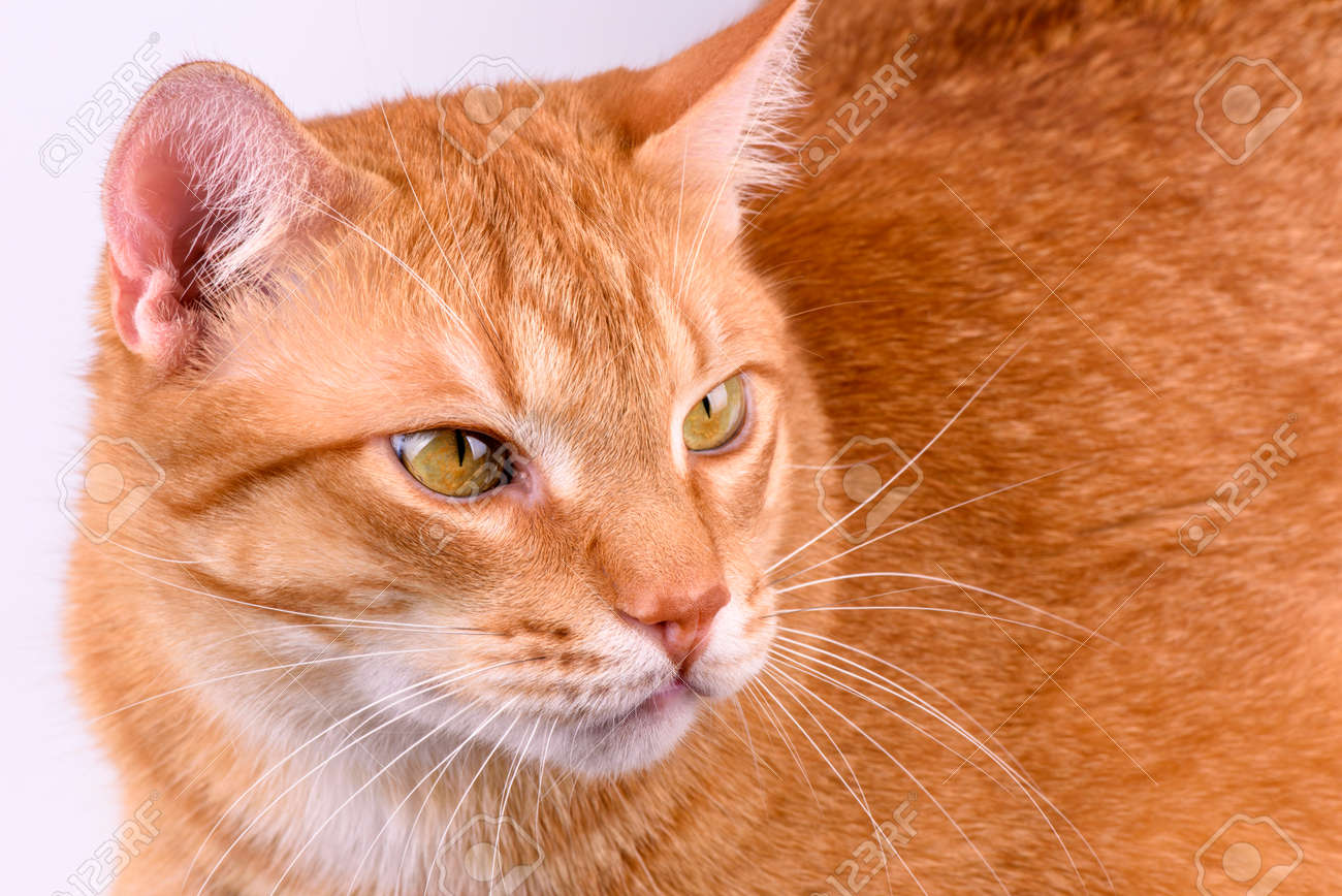 ginger cat close-up on a light background - 171117895
