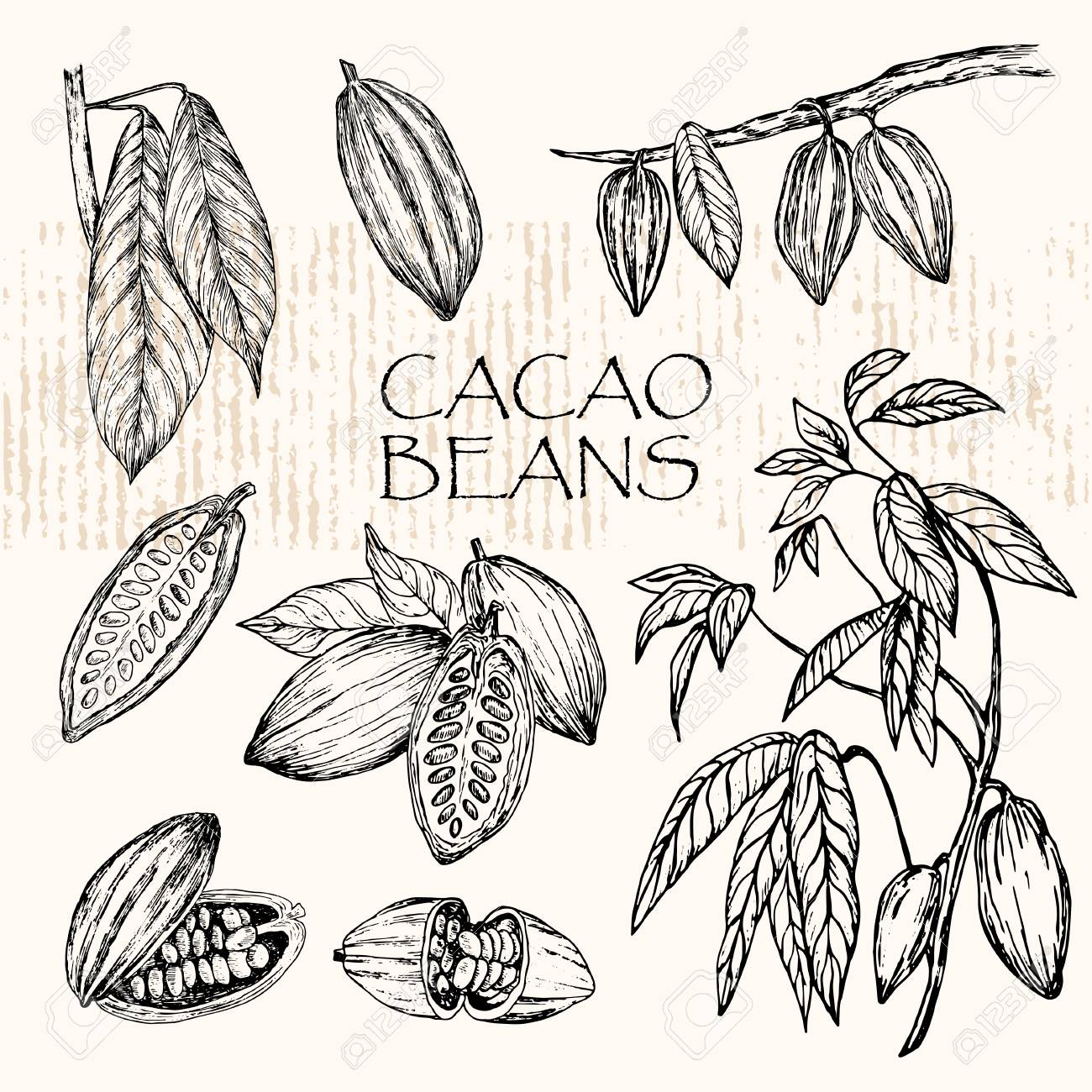 Vector Illustration Sketched Hand Drawn Cacao Beans Cacao Tree Royalty Free Cliparts Vectors And Stock Illustration Image 85956144