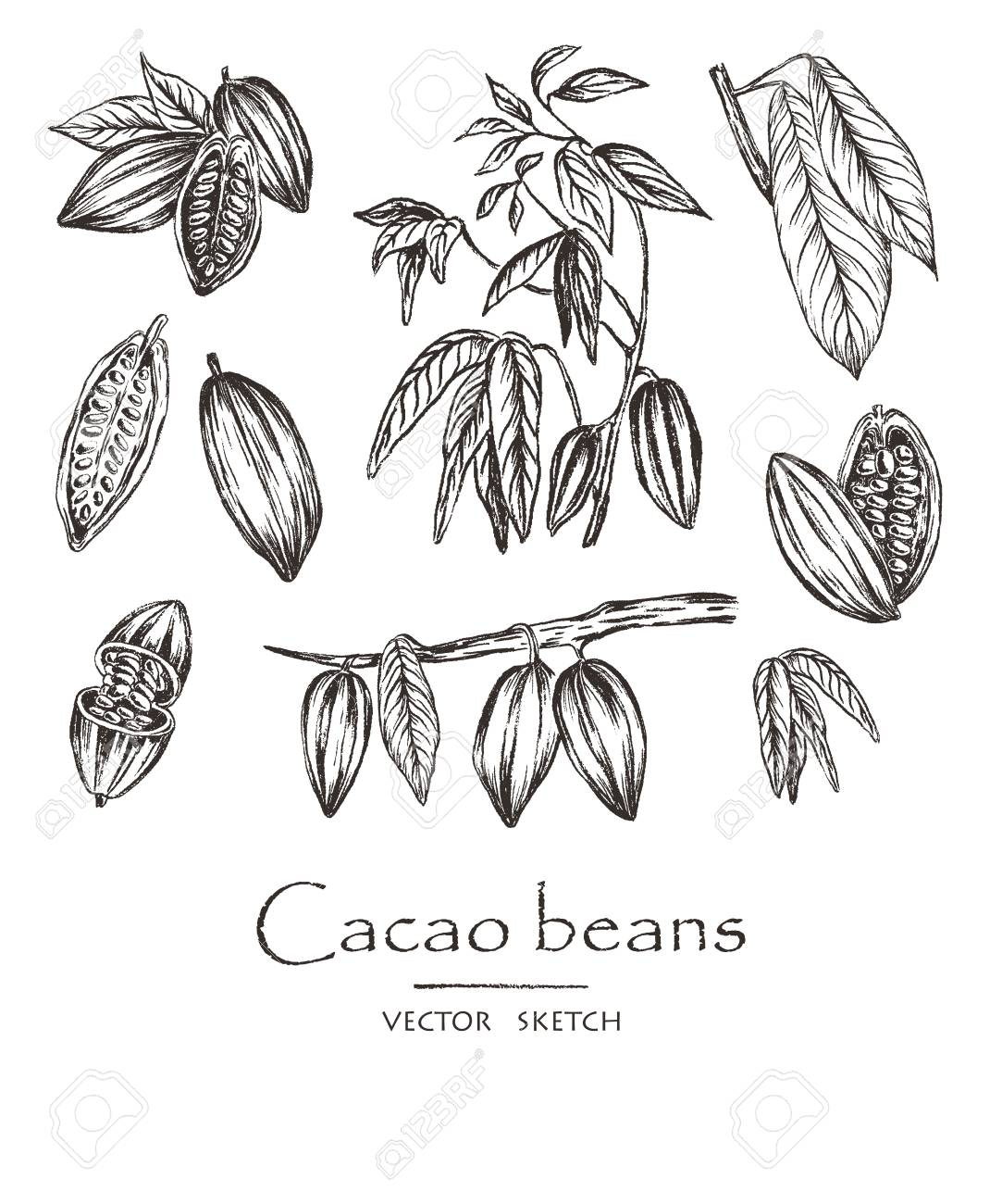 Vector Illustration Sketched Hand Drawn Cacao Beans Cacao Tree Royalty Free Cliparts Vectors And Stock Illustration Image 99960683