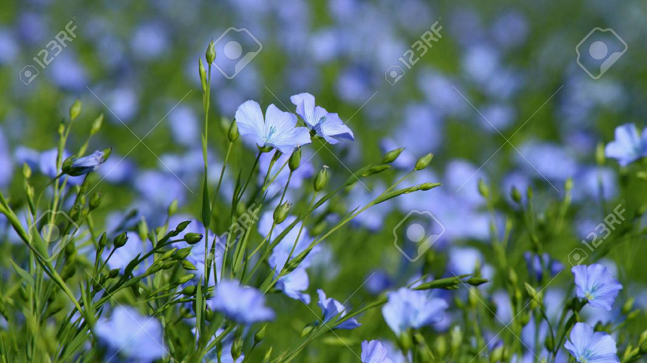 Field Of Many Flowering Flax Plants With Blue Sky Stock Photo