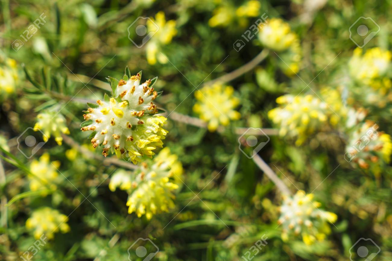 Fragrant Yellow Flowers On A Green Meadow Stock Photo Picture And