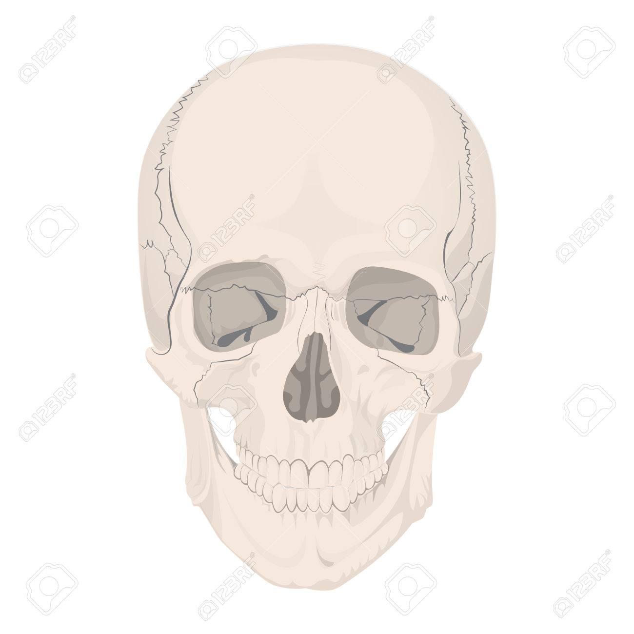 Human Skull Bones Skeleton Dead Anatomy Illustration Stock Photo