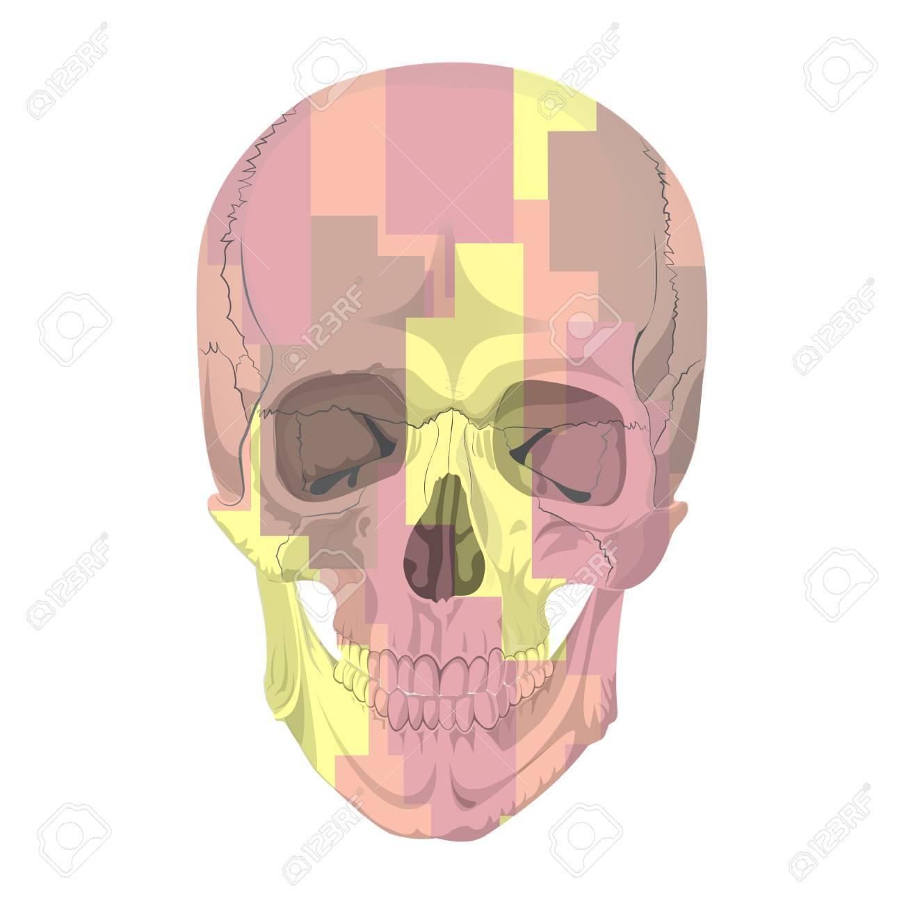 Human Skull Bones Skeleton Dead Anatomy Illustration Camouflage ...