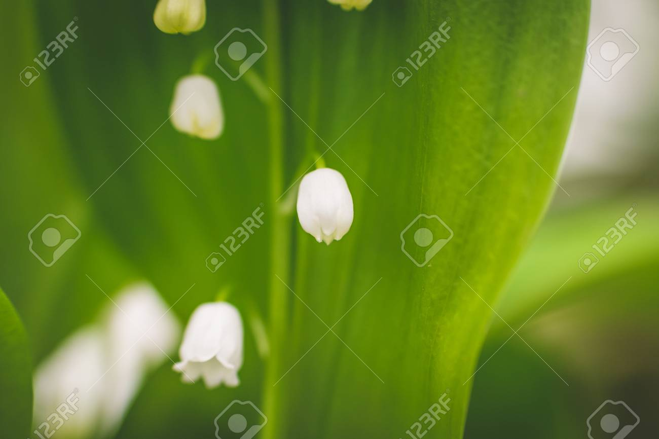 Lily Of The Valley Known As White Bells Flower Garden Flower