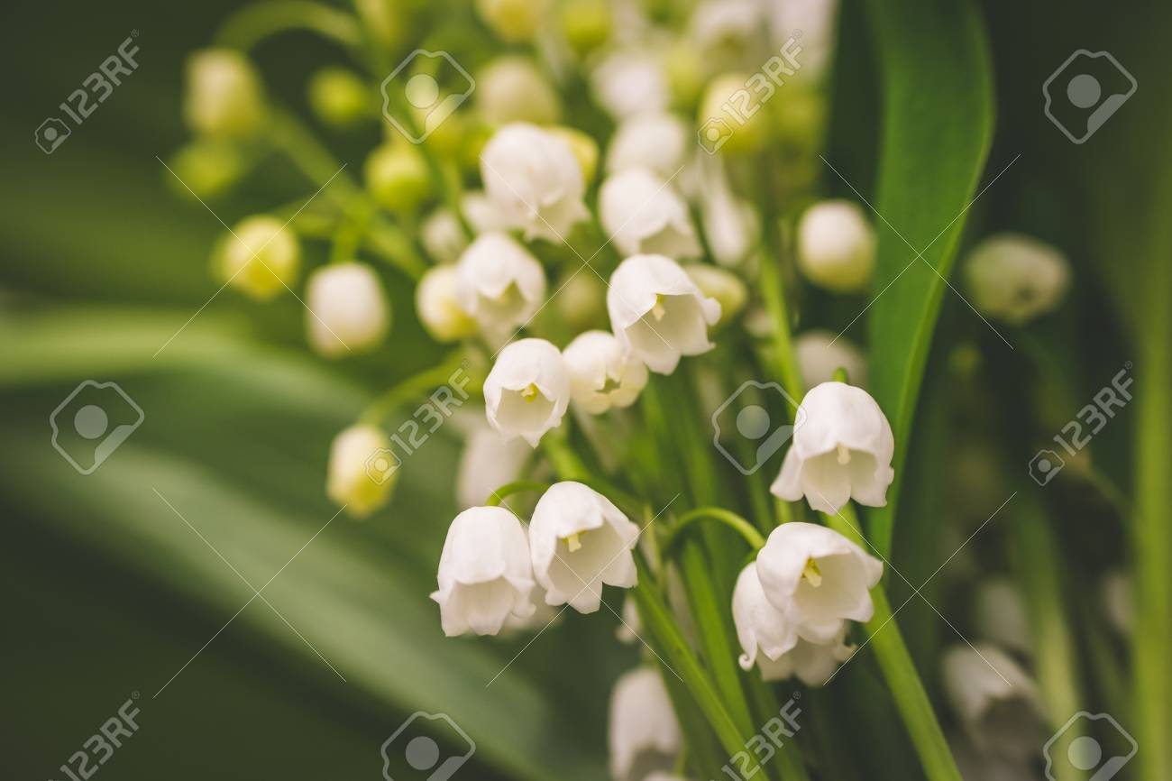 Lily of the valley known as white bells flower garden flower lily of the valley known as white bells flower garden flower with beautiful smell mightylinksfo