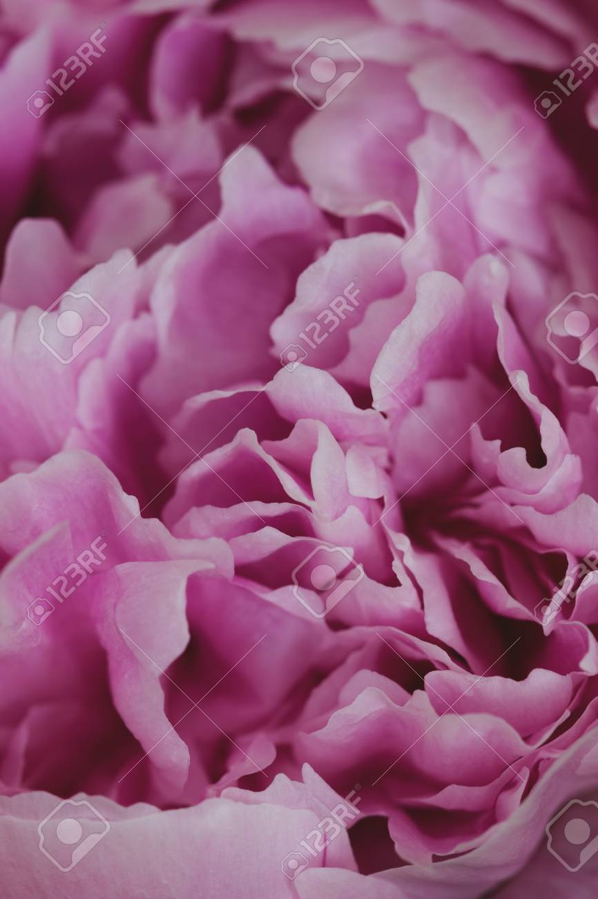 pink peony flower. macro photography. vintage floral wallpaper