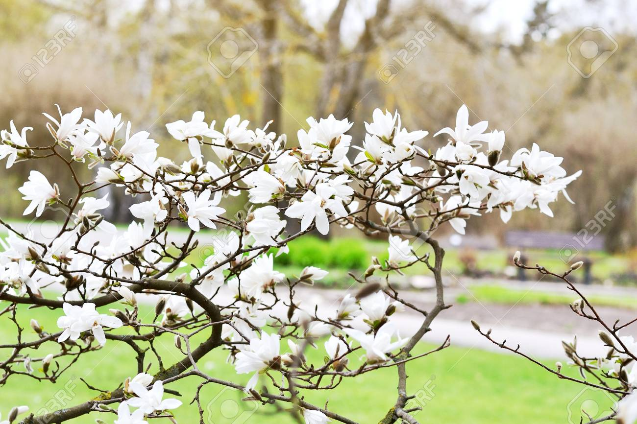 Beautiful White Magnolia Flowers Blossom On Magnolia Tree In Stock