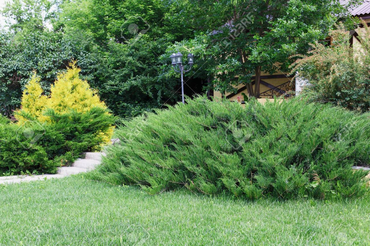 Beautiful Landscape Design, Garden With Evergreen Bushes, Fir Trees,  Spruces And Shrubs In