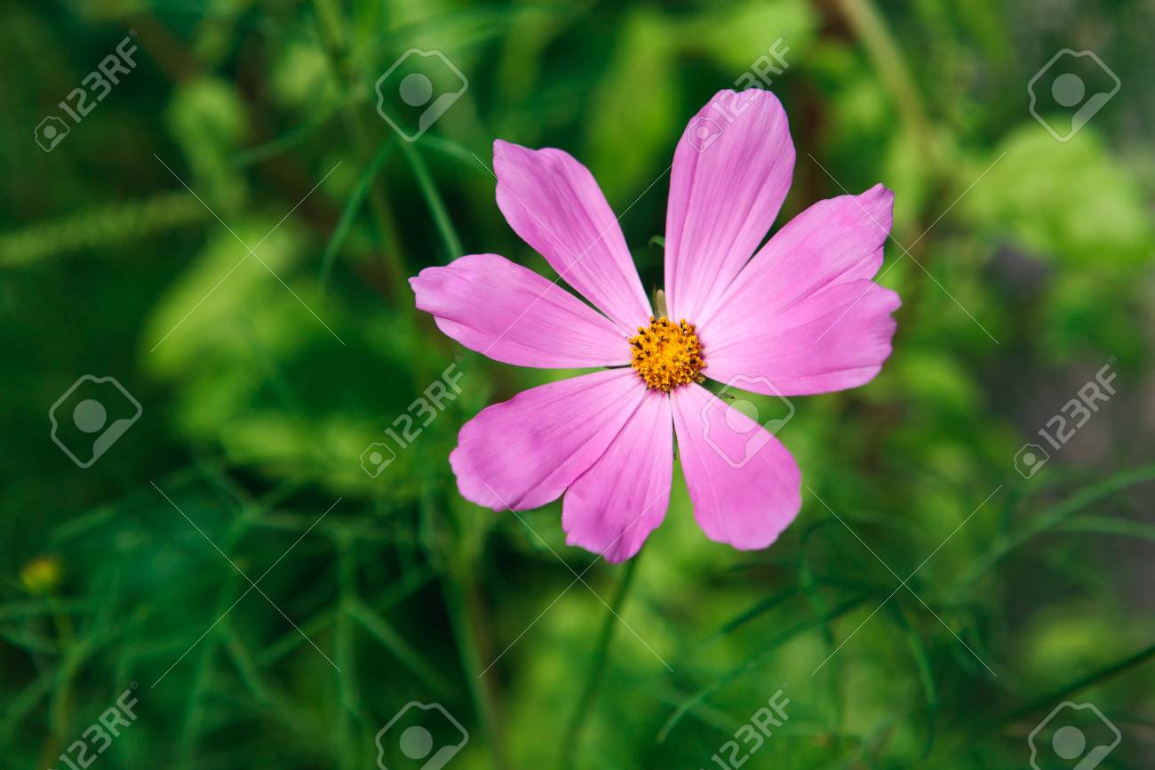 Aster Mexicaine Fleur Rose Vif Ou Jardin Cosmos Gros Plan Exterieur