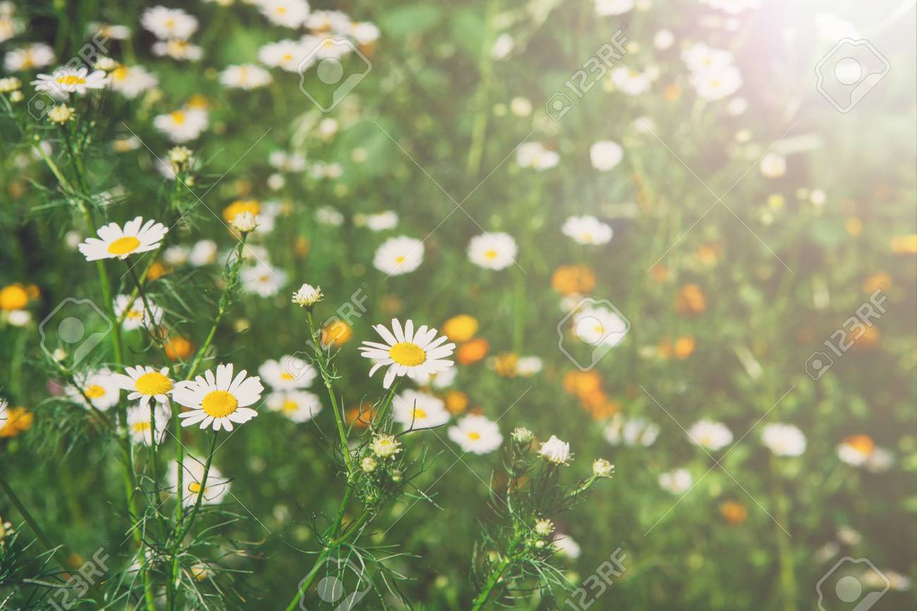 Beautiful Field With White Daisy Flower Background Bright