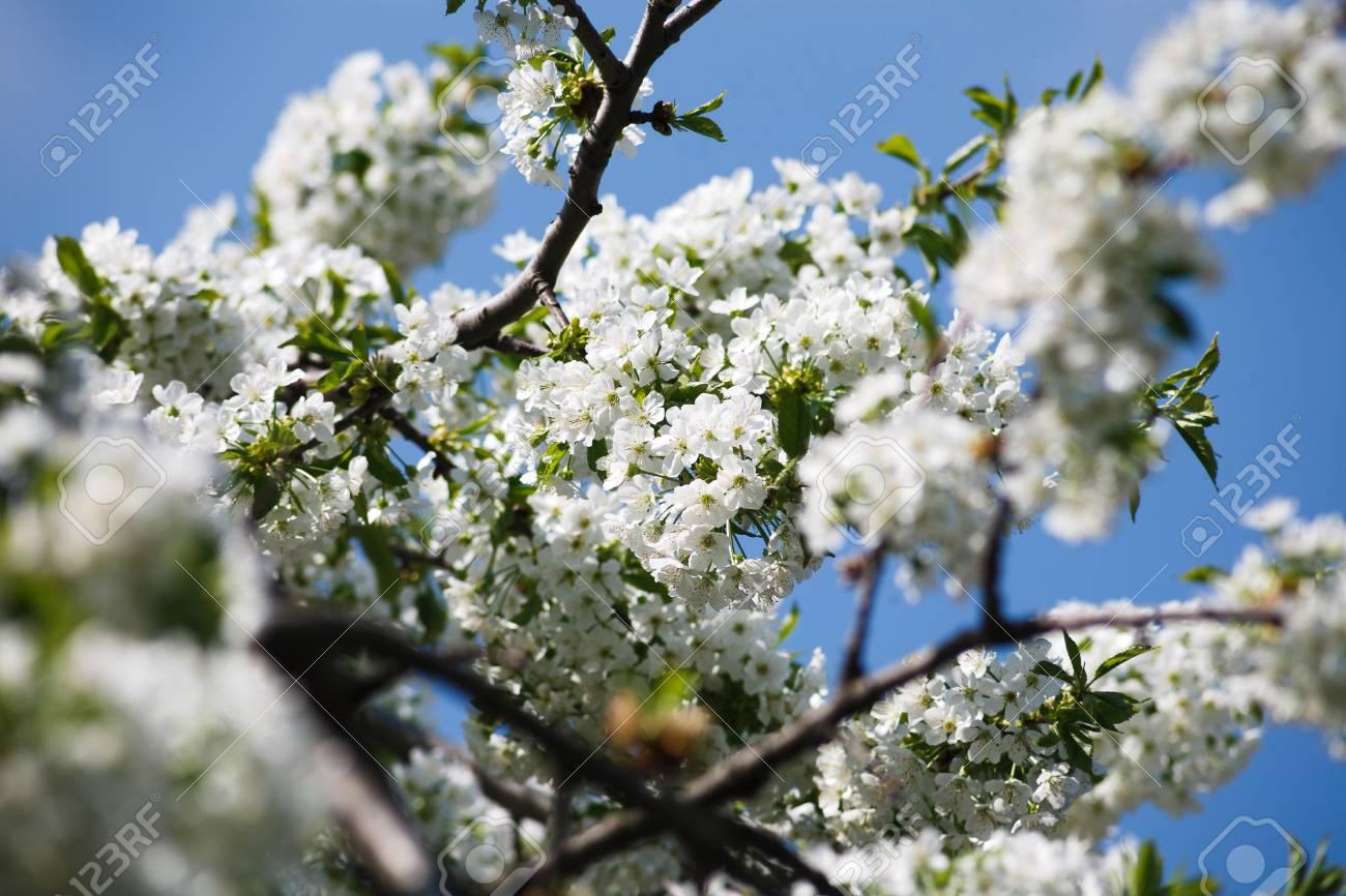 Cherry tree blossom closeup of beautiful branch with small white cherry tree blossom closeup of beautiful branch with small white flower buds spring nature mightylinksfo