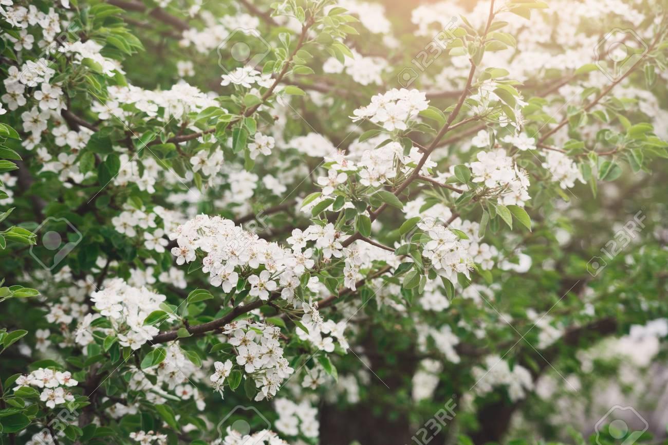 Cherry tree blossom background closeup of beautiful branch with cherry tree blossom background closeup of beautiful branch with small white flower buds spring mightylinksfo