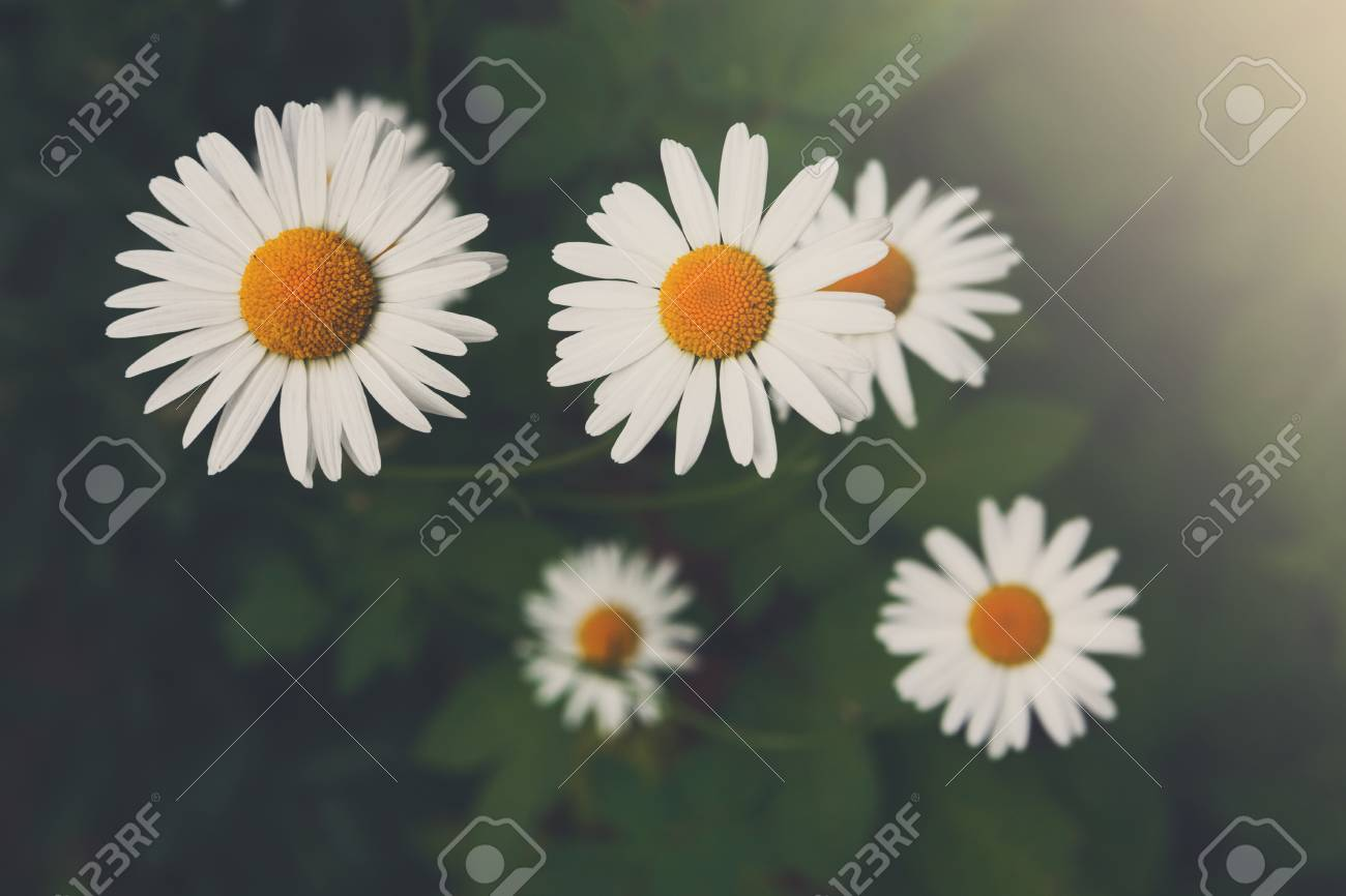 Beautiful Daisy Flower Background Top View Bright Chamomiles