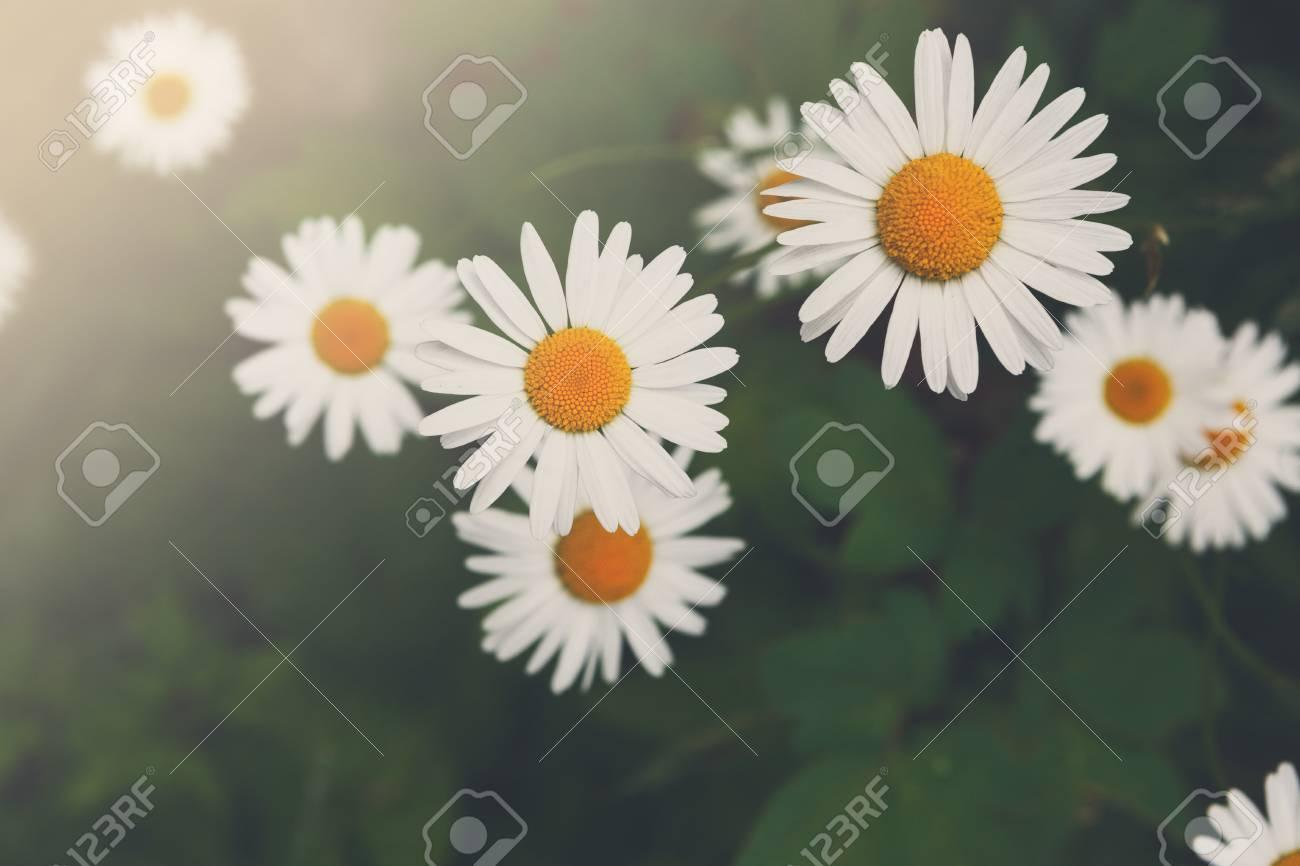 Beautiful daisy flower background bright chamomiles or camomiles beautiful daisy flower background bright chamomiles or camomiles meadow summer in the garden izmirmasajfo