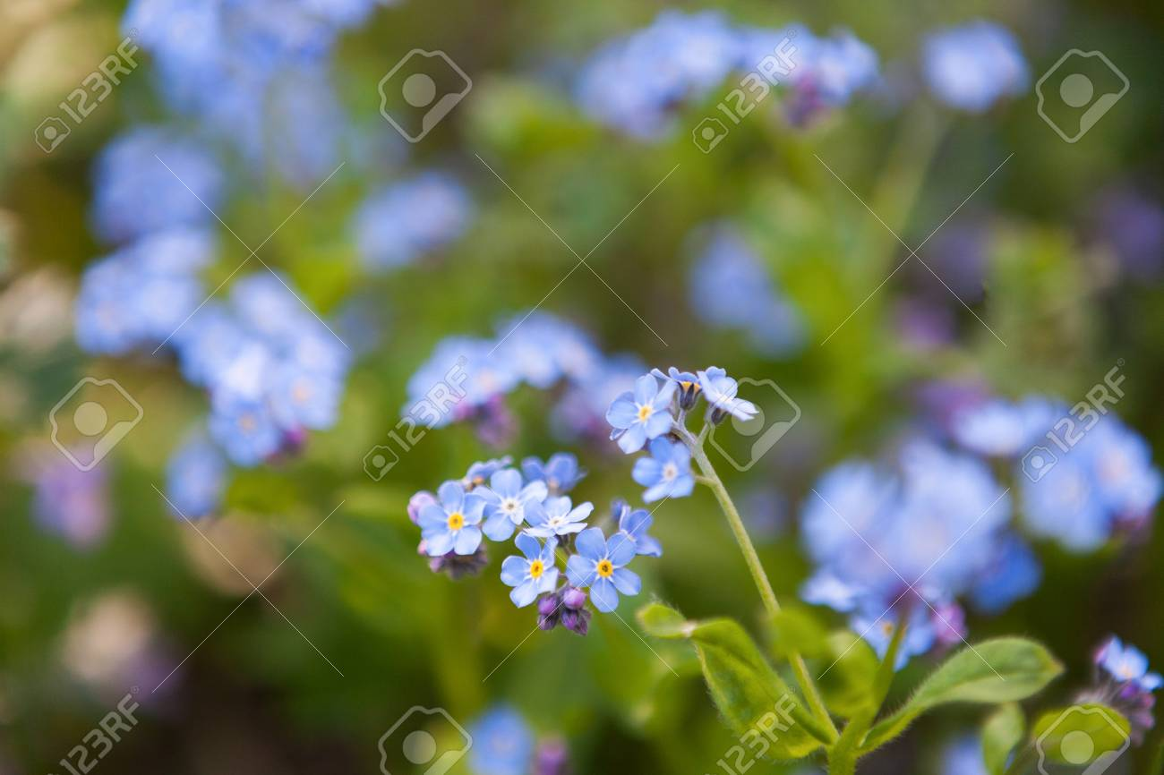 Tender Tiny Blue Flowers Close Up Nature In Blossom Blooming