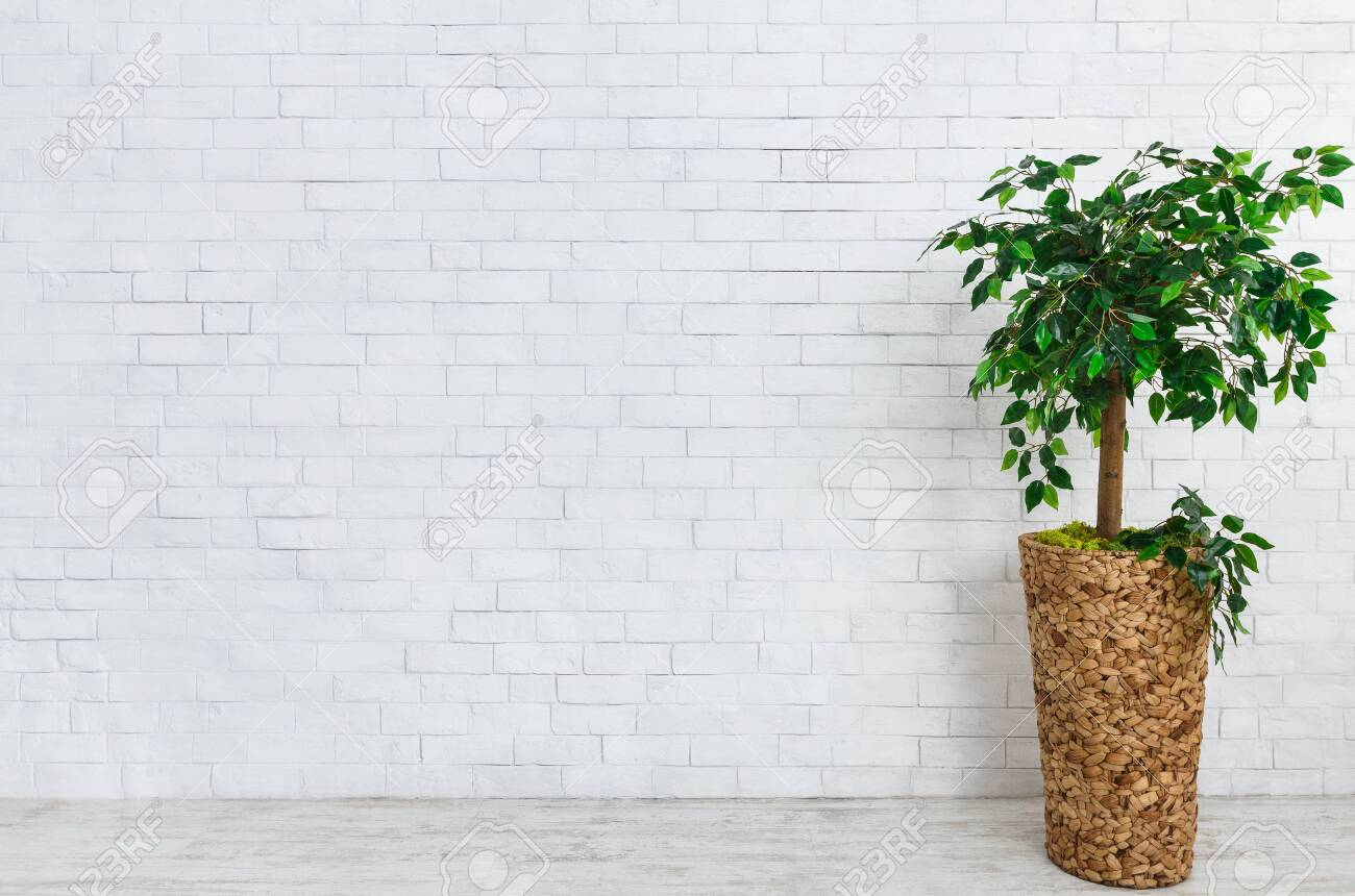 Flower Pot With Ficus Tree Standing On Floor At White Brick Wall Stock Photo Picture And Royalty Free Image Image 118032798