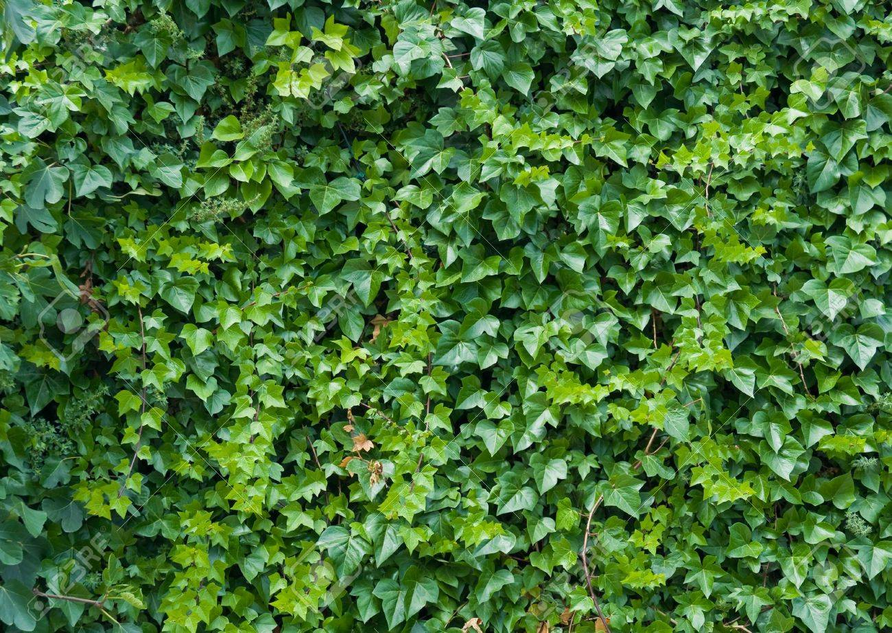 Climbing vines for walls - Climbing Ivy Background Stock Photo 7104411