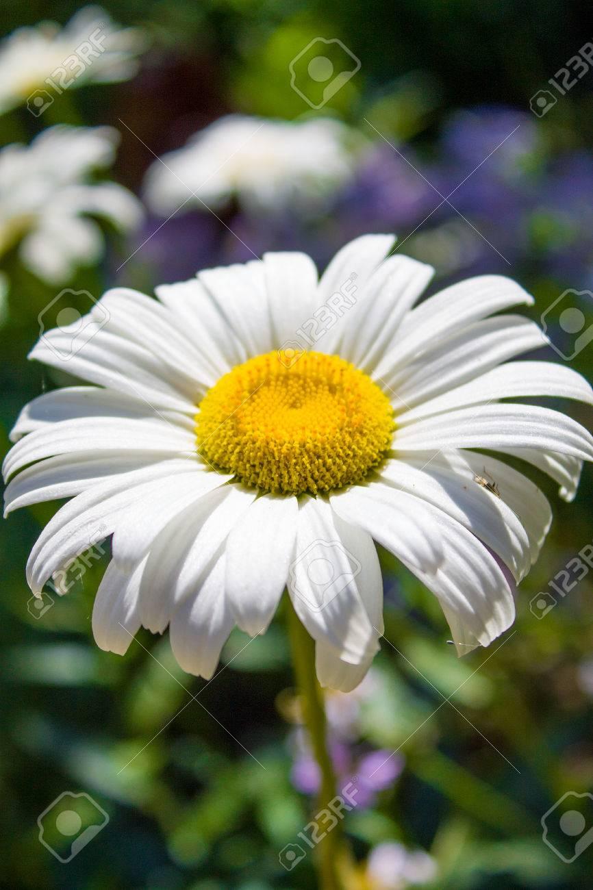 Beautiful Blooming Flowers In Belarus Close Upbackground Stock