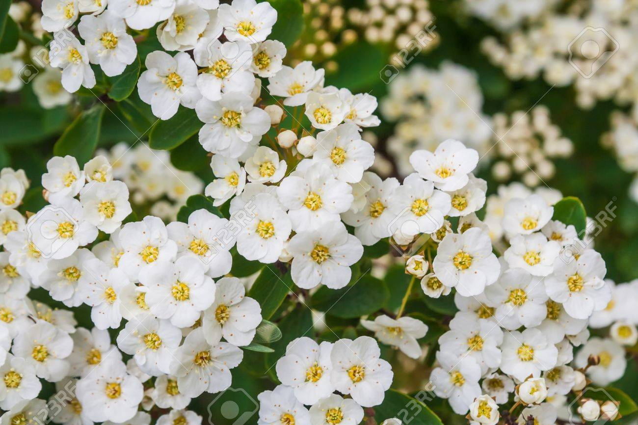 Beautiful Blooming Hawthorn Tree In Springtime White Flowers