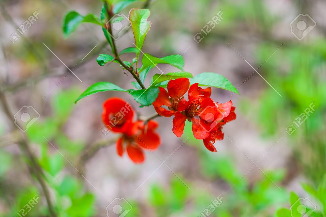 Beautiful Red Quince Flowers Blossoming In Late Spring Stock Photo