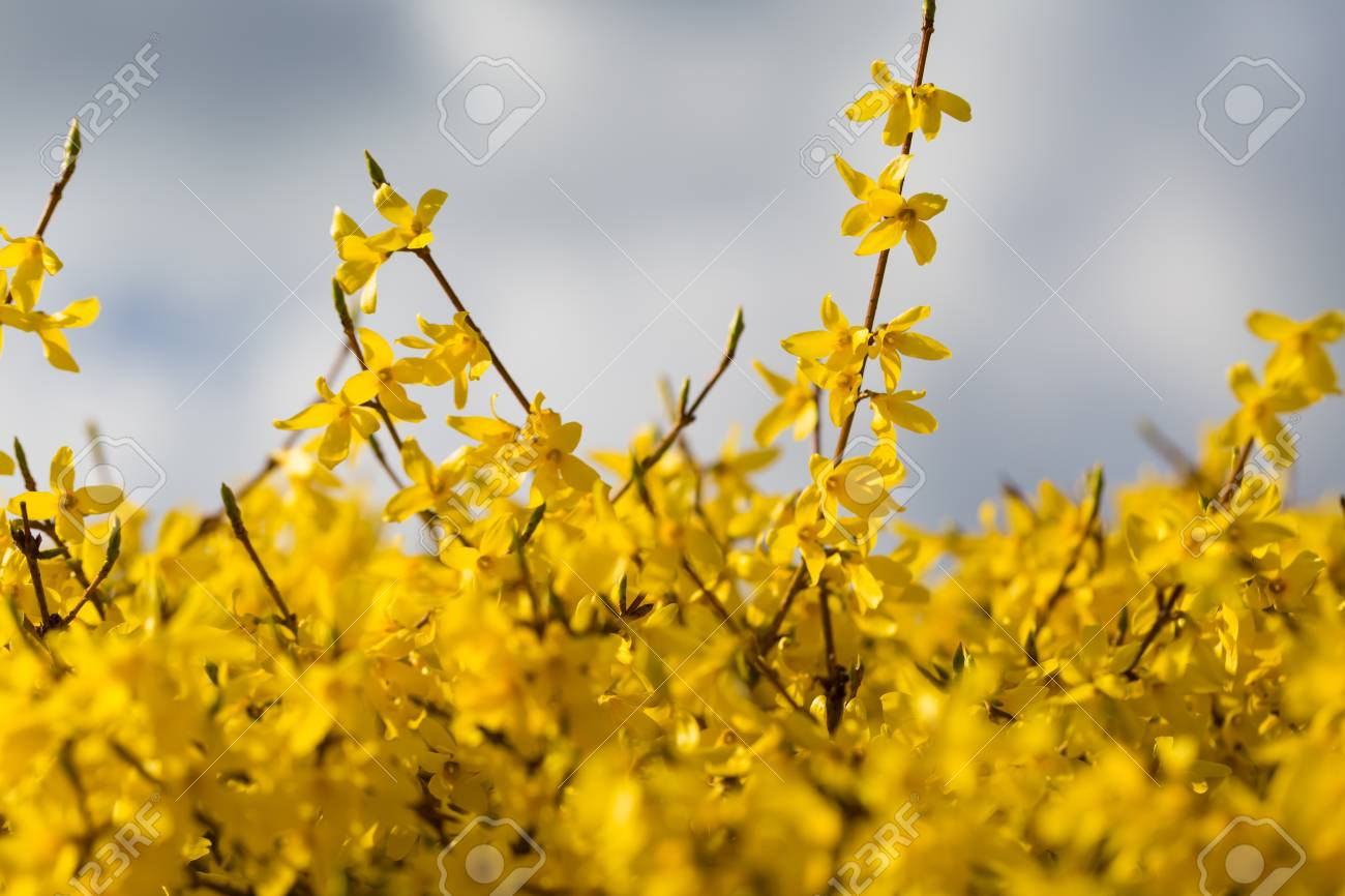 Beautiful Blooming Forsythia Bush Close Up Of Yellow Flowers