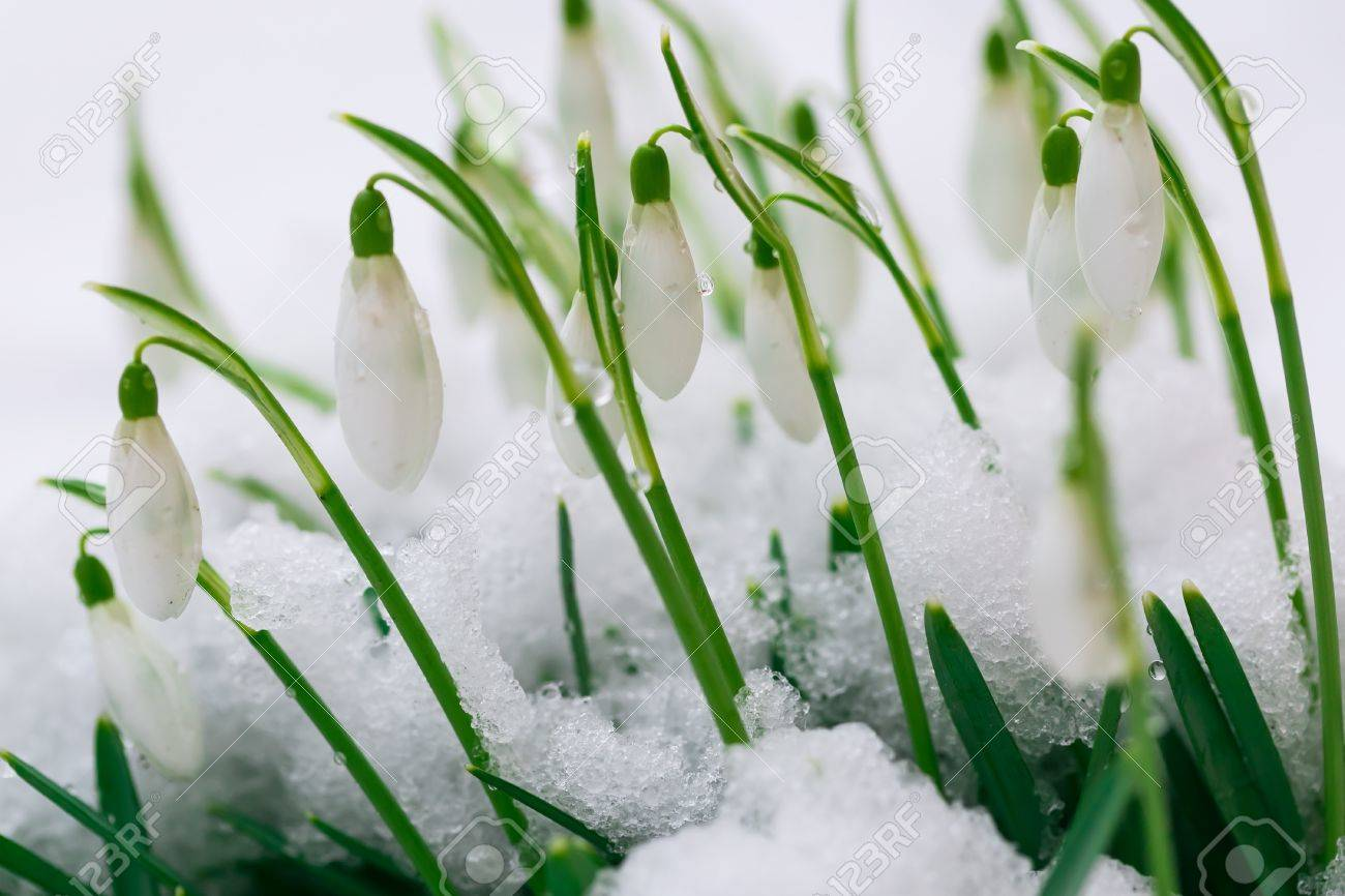 Blooming snowdrops flowers covered by snow i early spring flower blooming snowdrops flowers covered by snow i early spring flower macro stock photo mightylinksfo