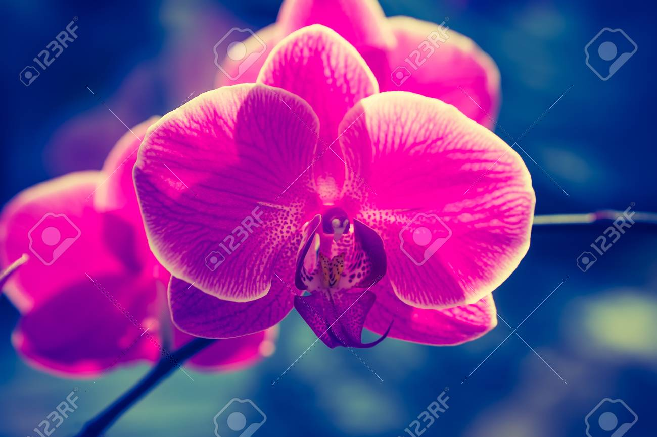 Vintage photo of pink orchid flowers beautiful exotic flower stock photo vintage photo of pink orchid flowers beautiful exotic flower in photo with old fashioned colors izmirmasajfo