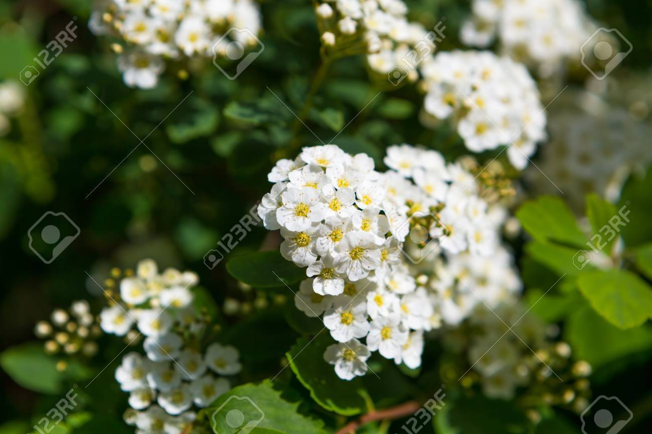 Beautiful Blooming White Flowers Of Spirea White Springtime Stock