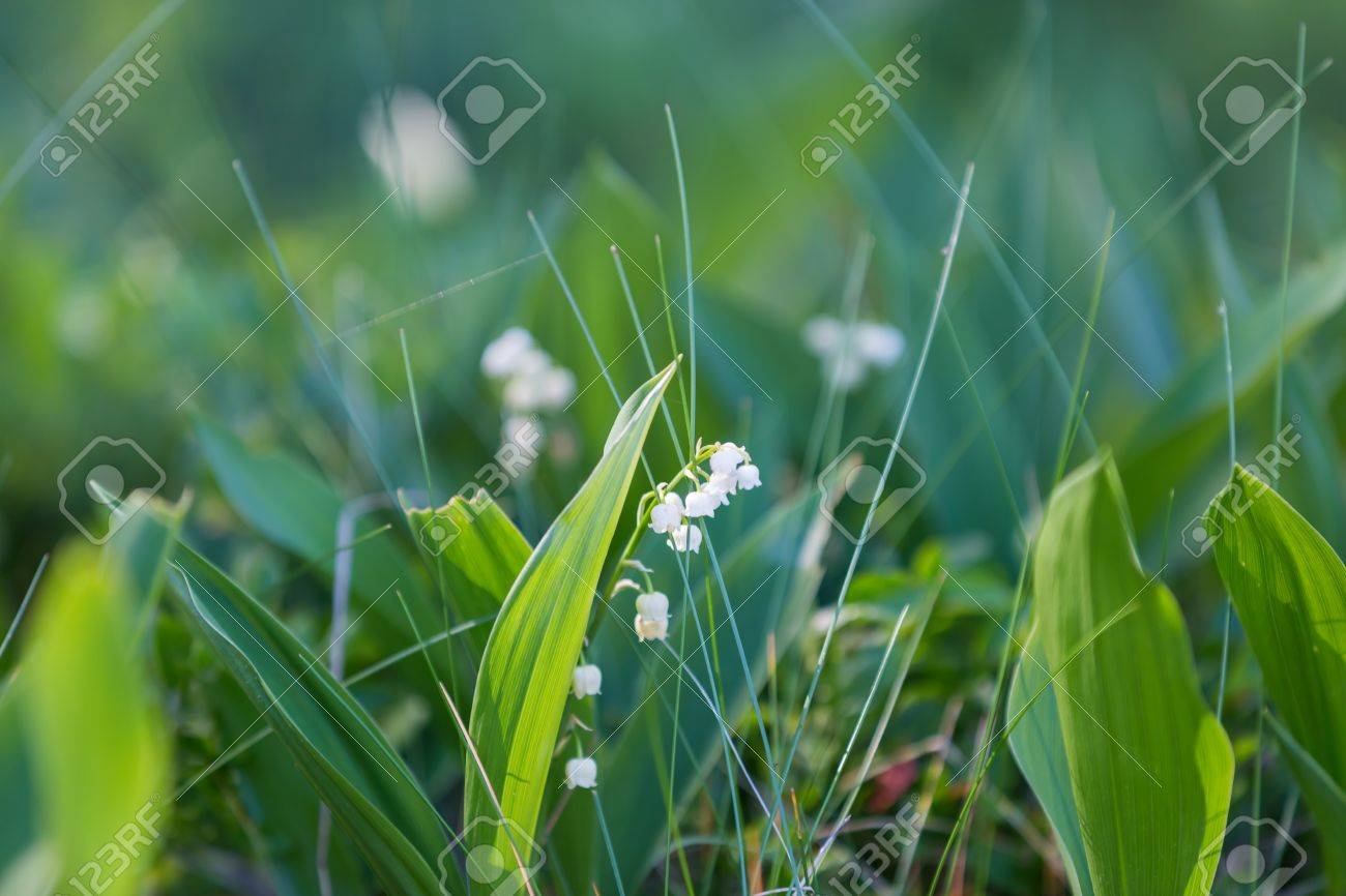 Wild Lily Of The Valley Flowers Growing In Springtime Forest Stock