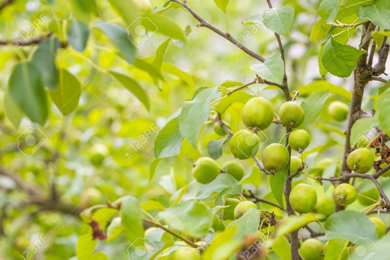 green apple fruit tree. photo of young green apples, fruits on the branches apple trees stock - fruit tree