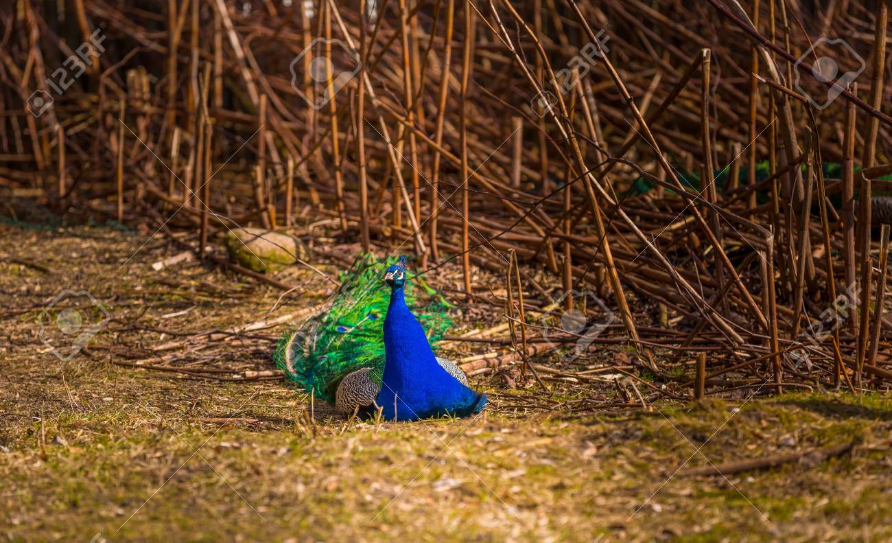 Beautiful Peacock Portrait Big Colorful Bird Photographed In