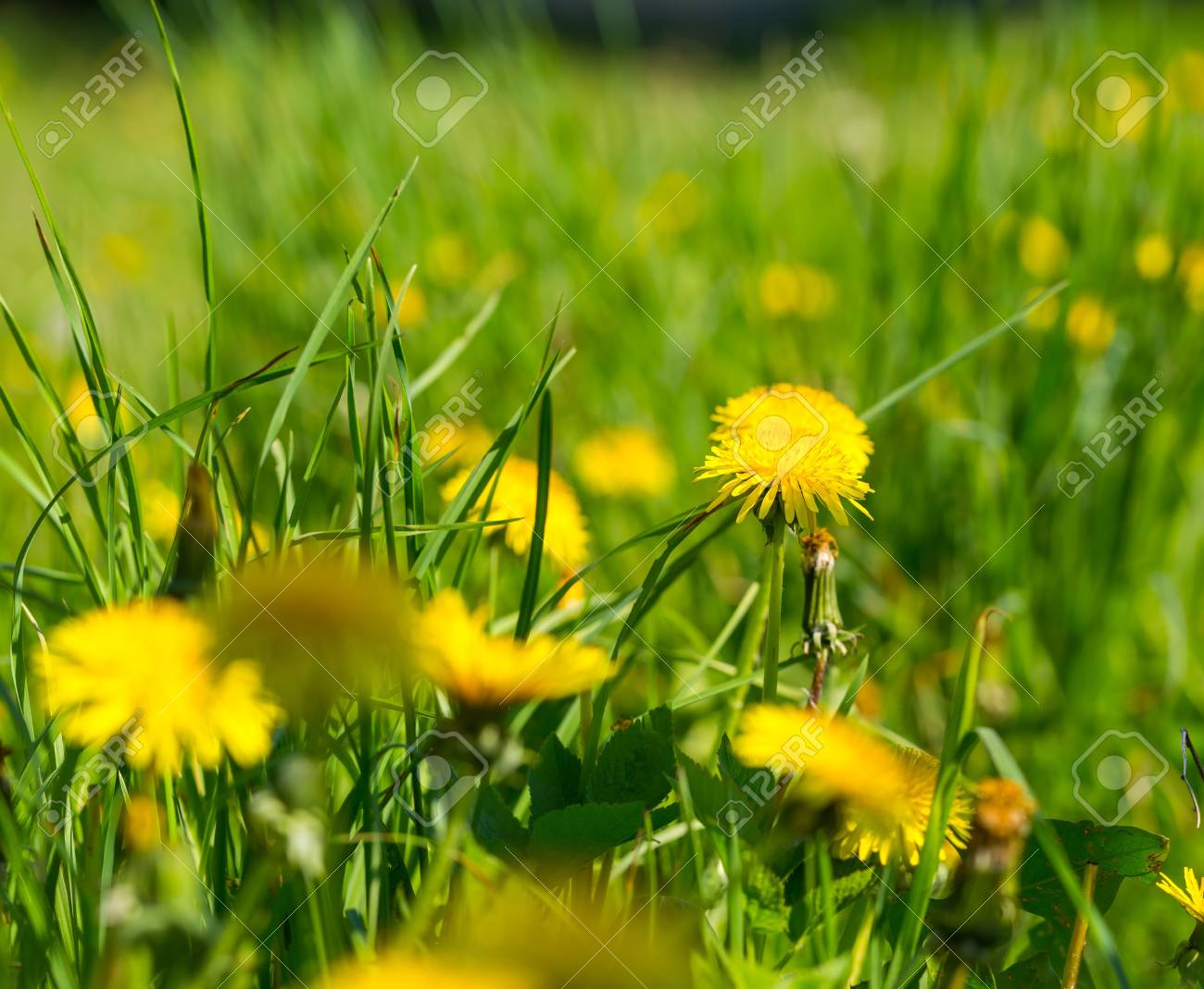 Blooming Dandelion Flowers At Springtime Yellow Flowers Background