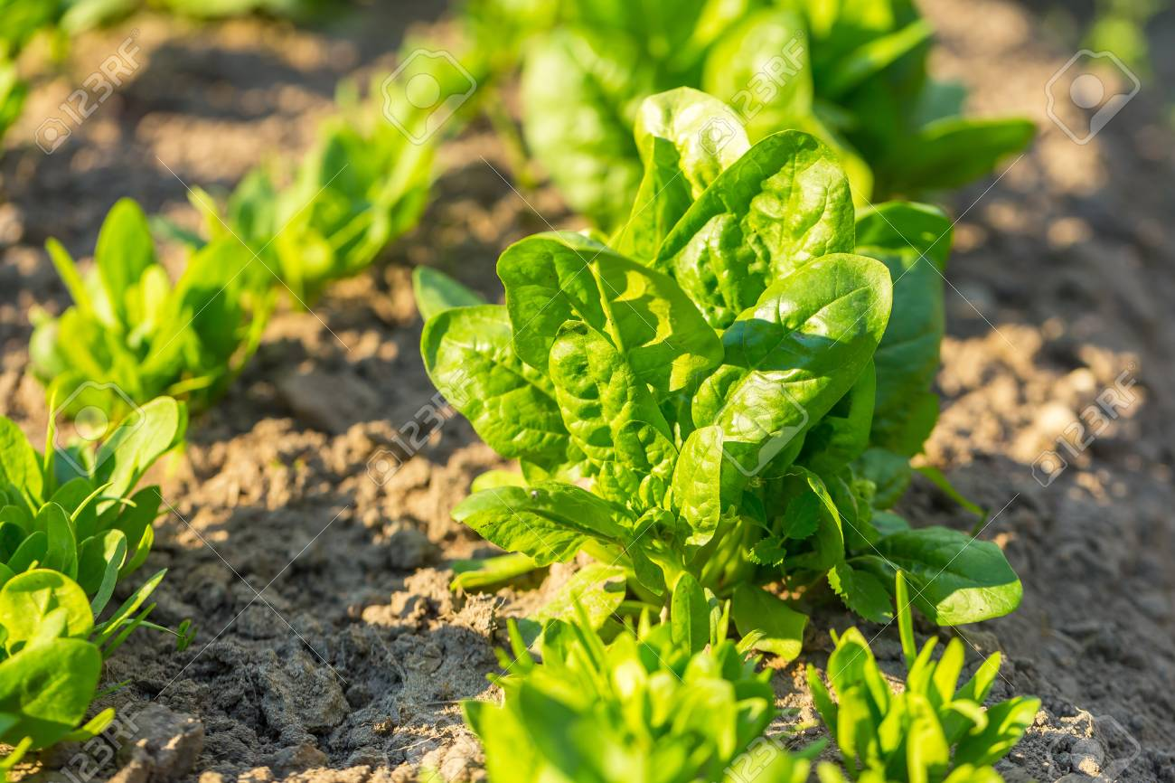 Spinach growing in garden. Fresh natural leaves of spinach growing in summer garden - 60230214