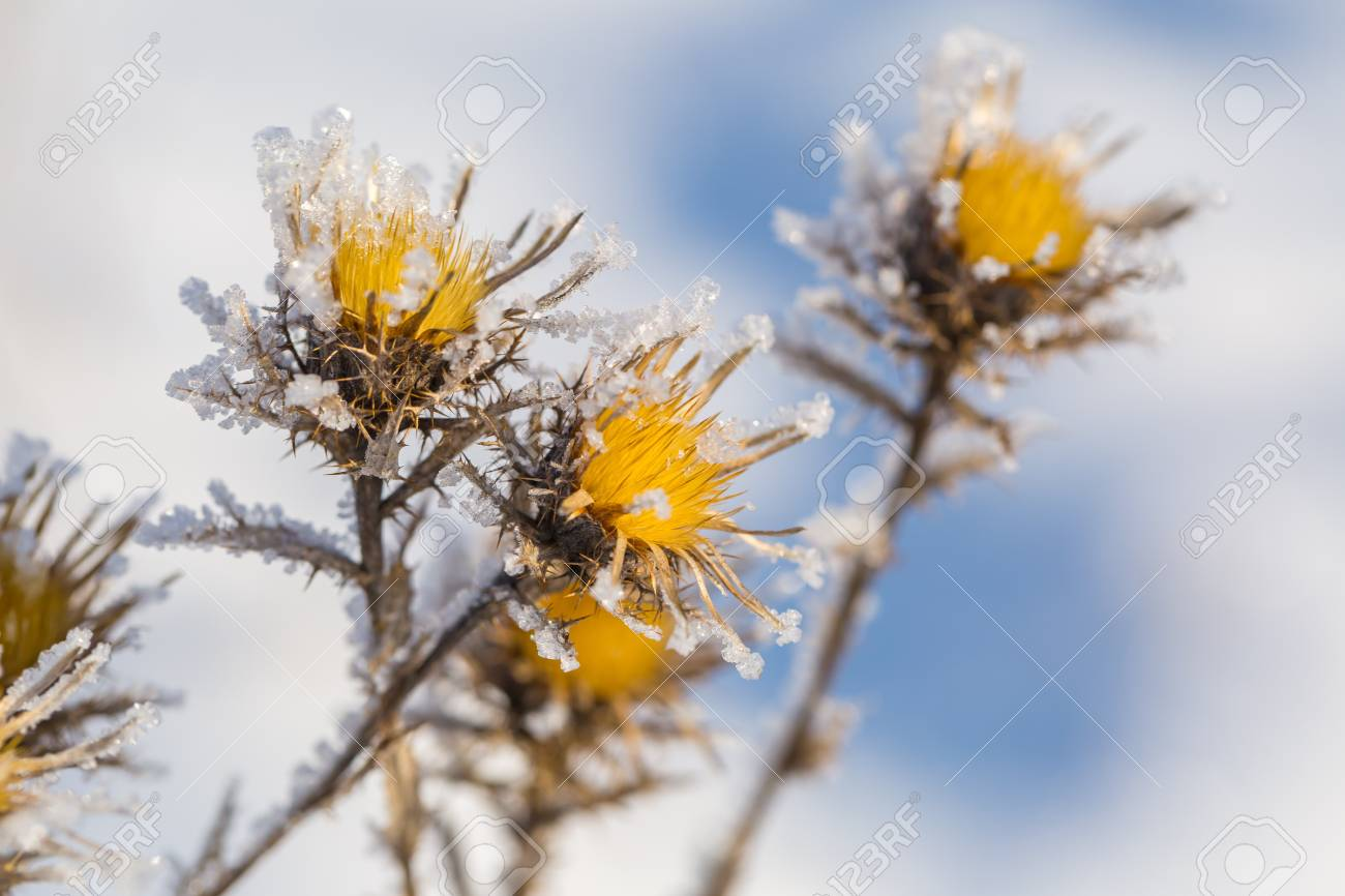 Fleur De Chardon Fletrie Et Seche En Hiver Givre Fleur Seche Avec
