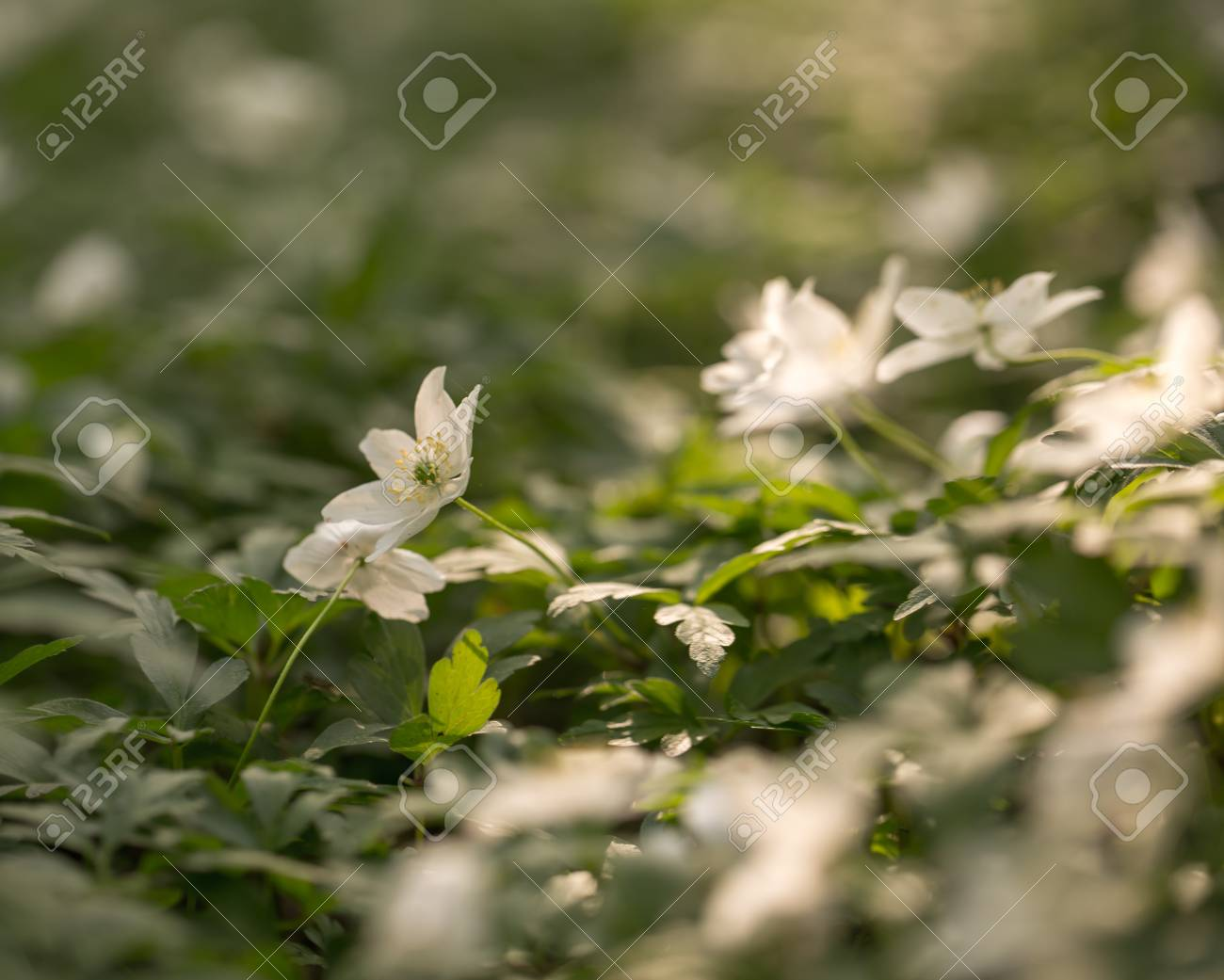 White anemone flowers blooming in springtime forest in poland stock photo white anemone flowers blooming in springtime forest in poland wild white flowers mightylinksfo