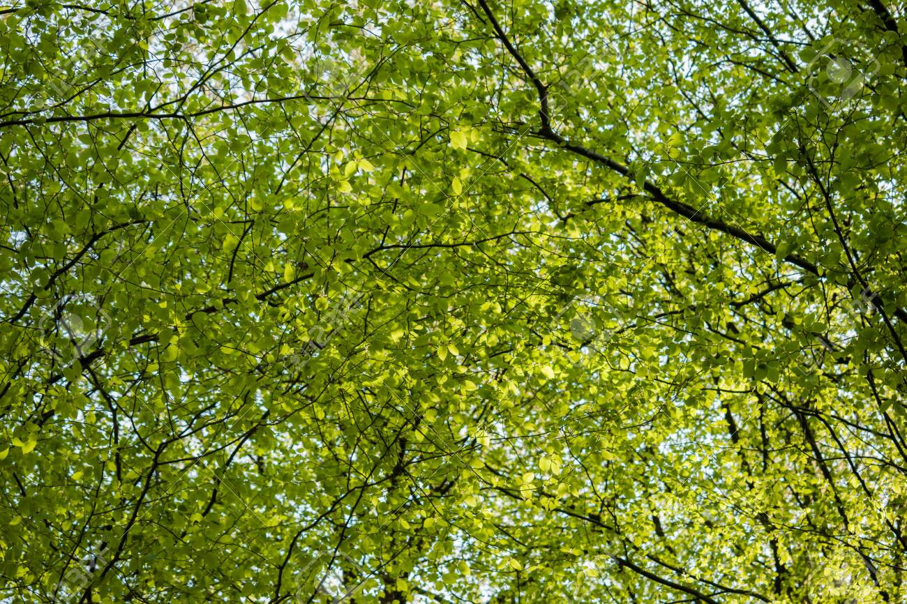 Green tree canopy in spring with fresh leaves. View from below - 144429065