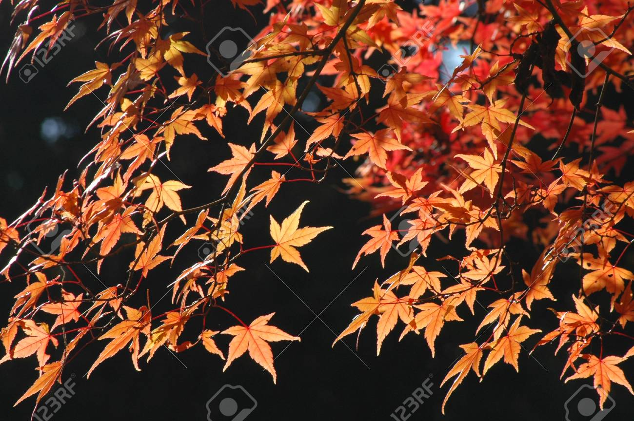 japanese red maple Stock Photo - 236990