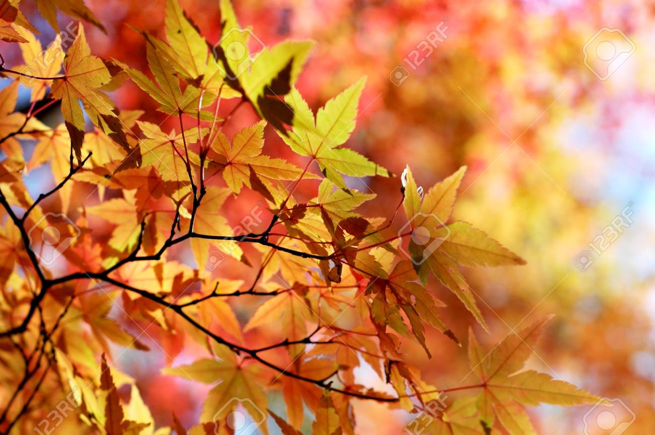 Japanese maple in autumn colors Stock Photo - 3582643